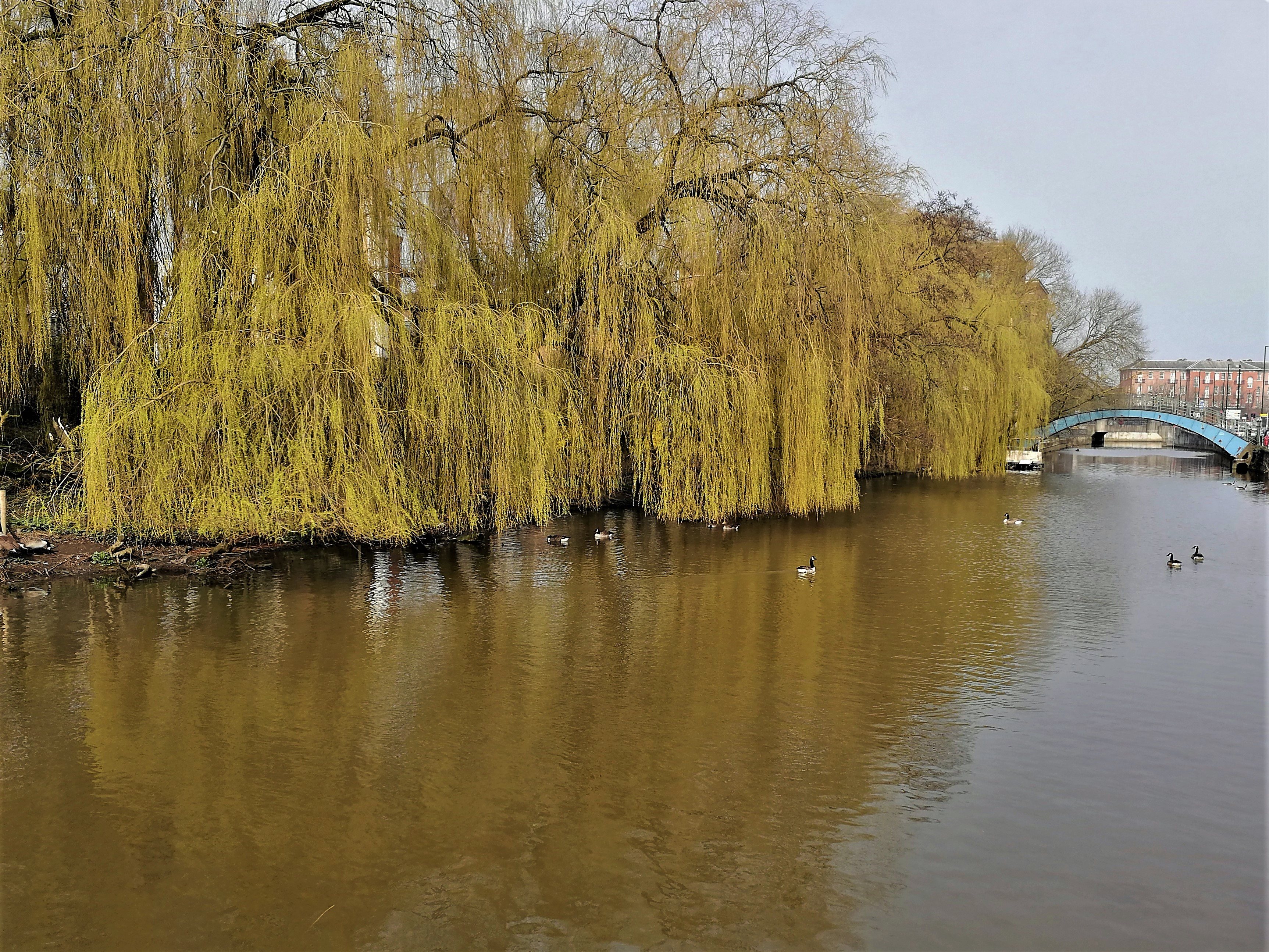 Weeping willow by the Foss