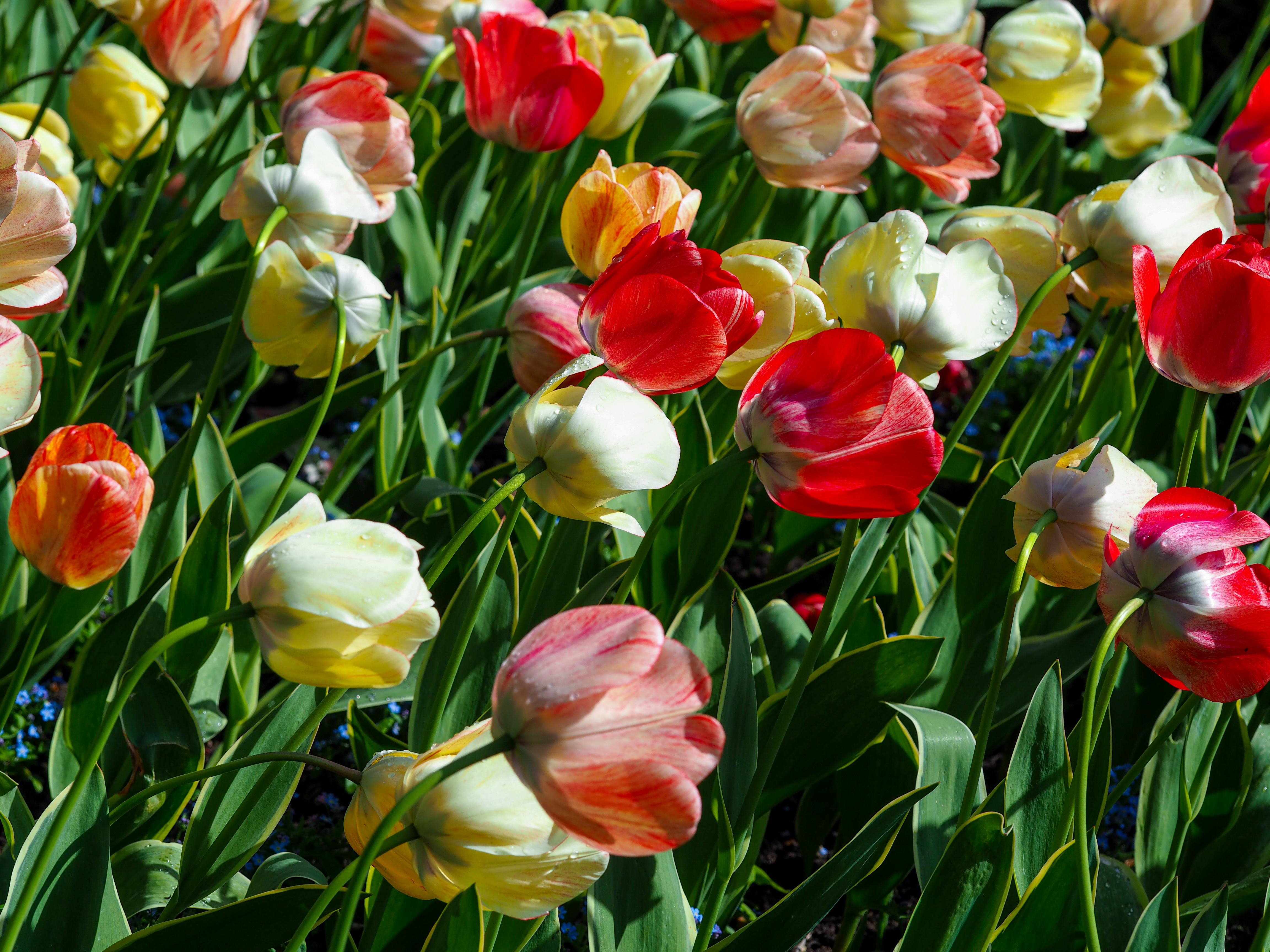 Tulips in the breeze