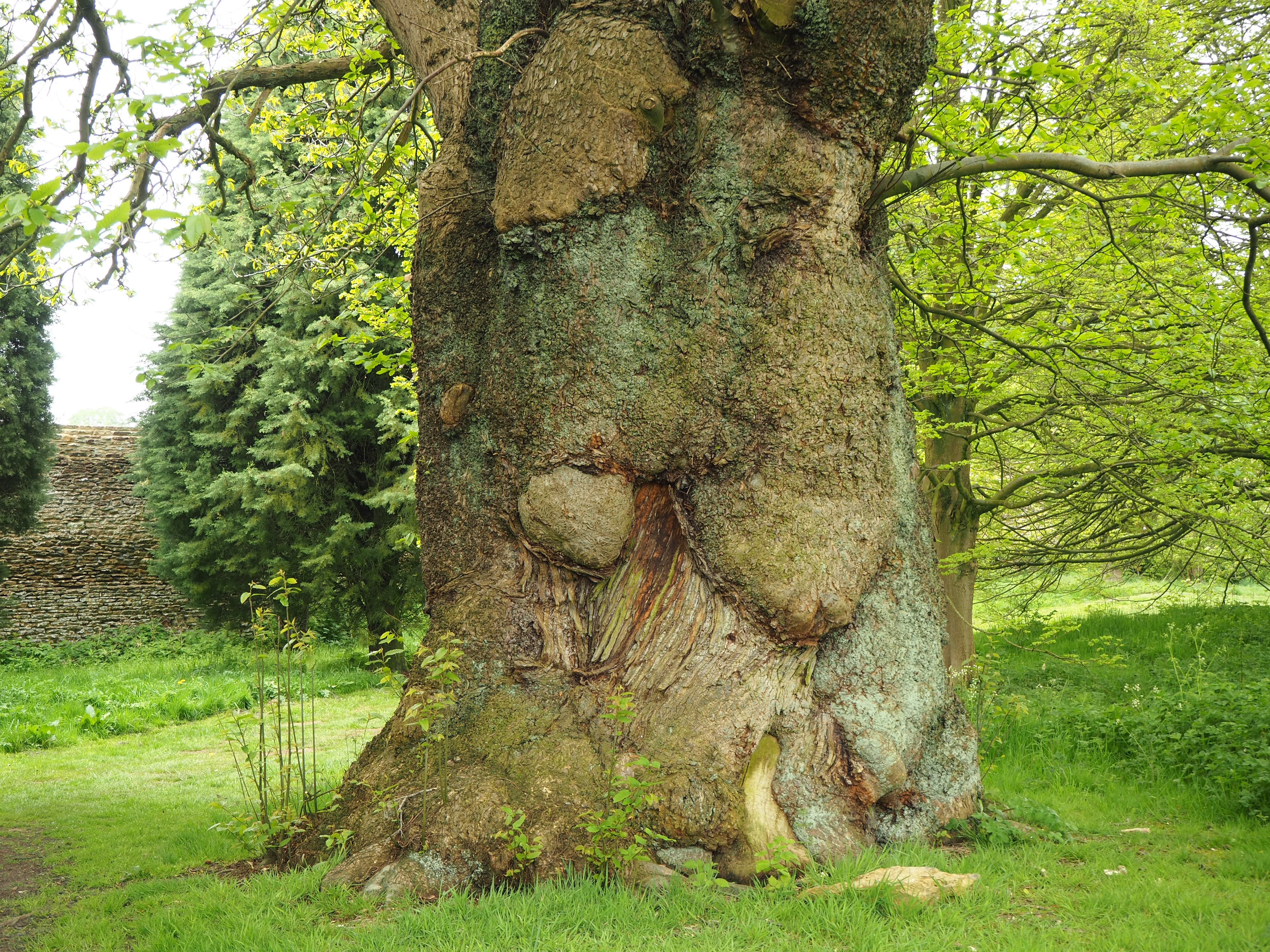 Ancient chestnut tree trunk