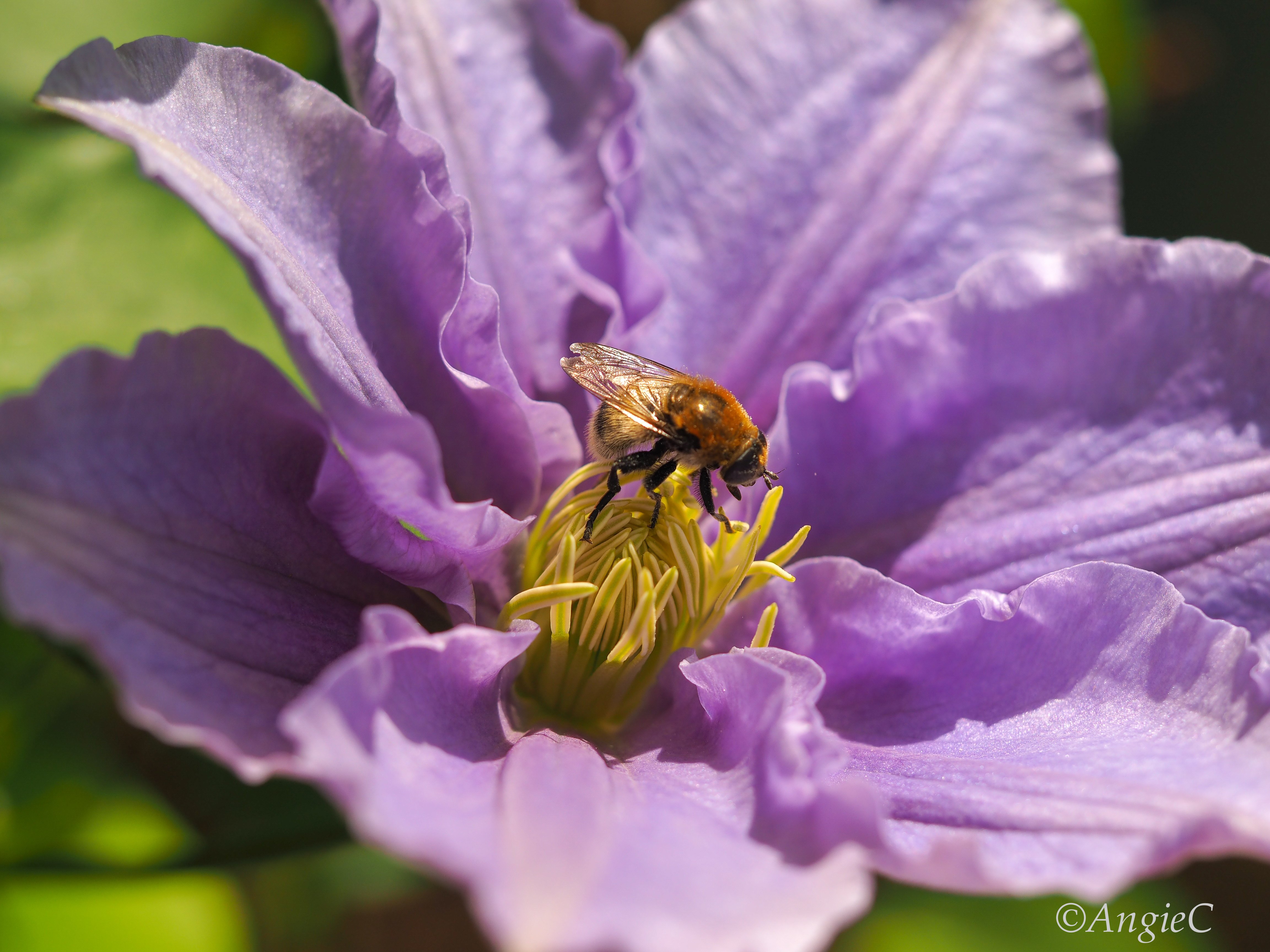 Honey bee on a Clematis flower