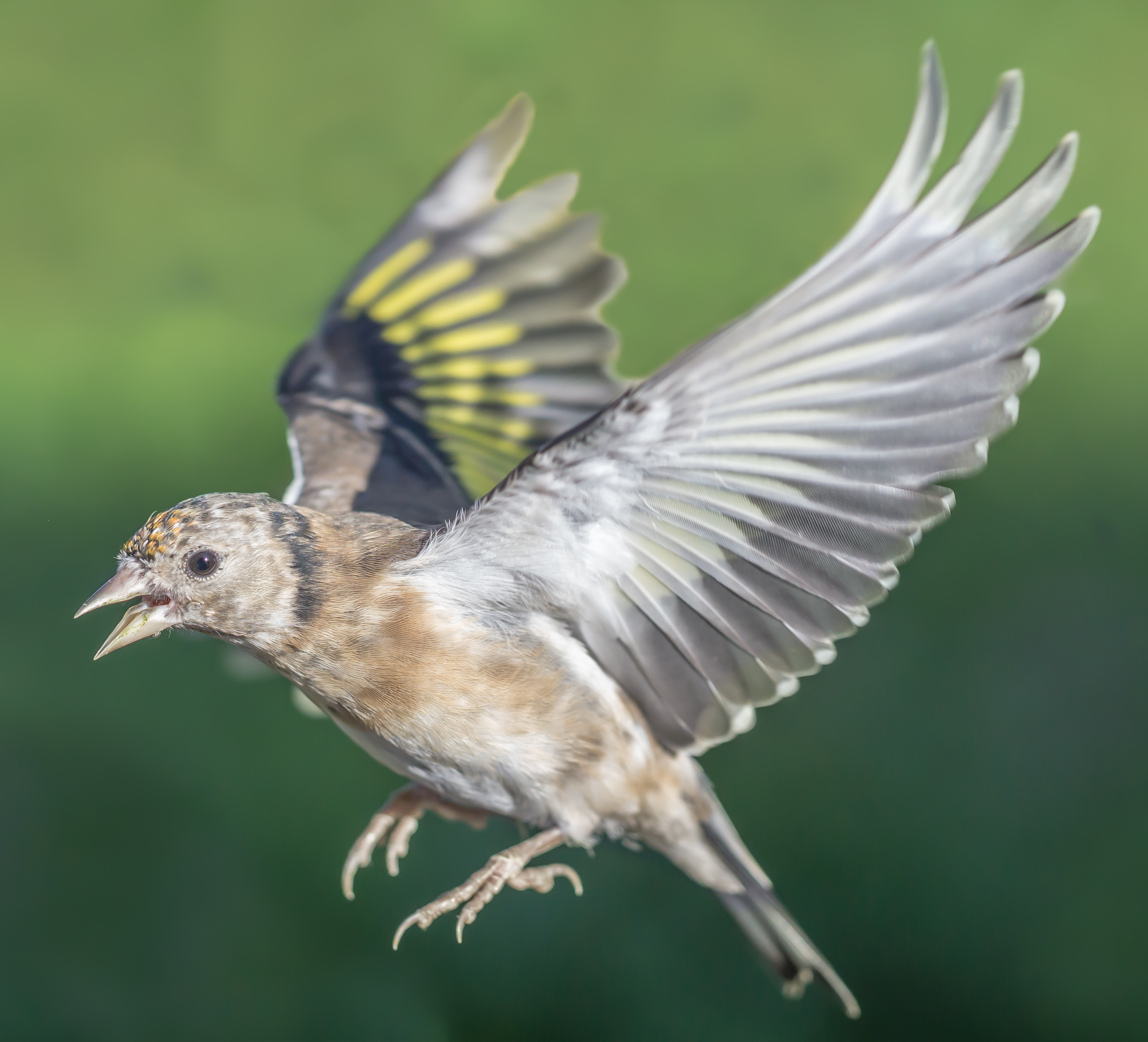 Goldfinch (juvenille) in flight
