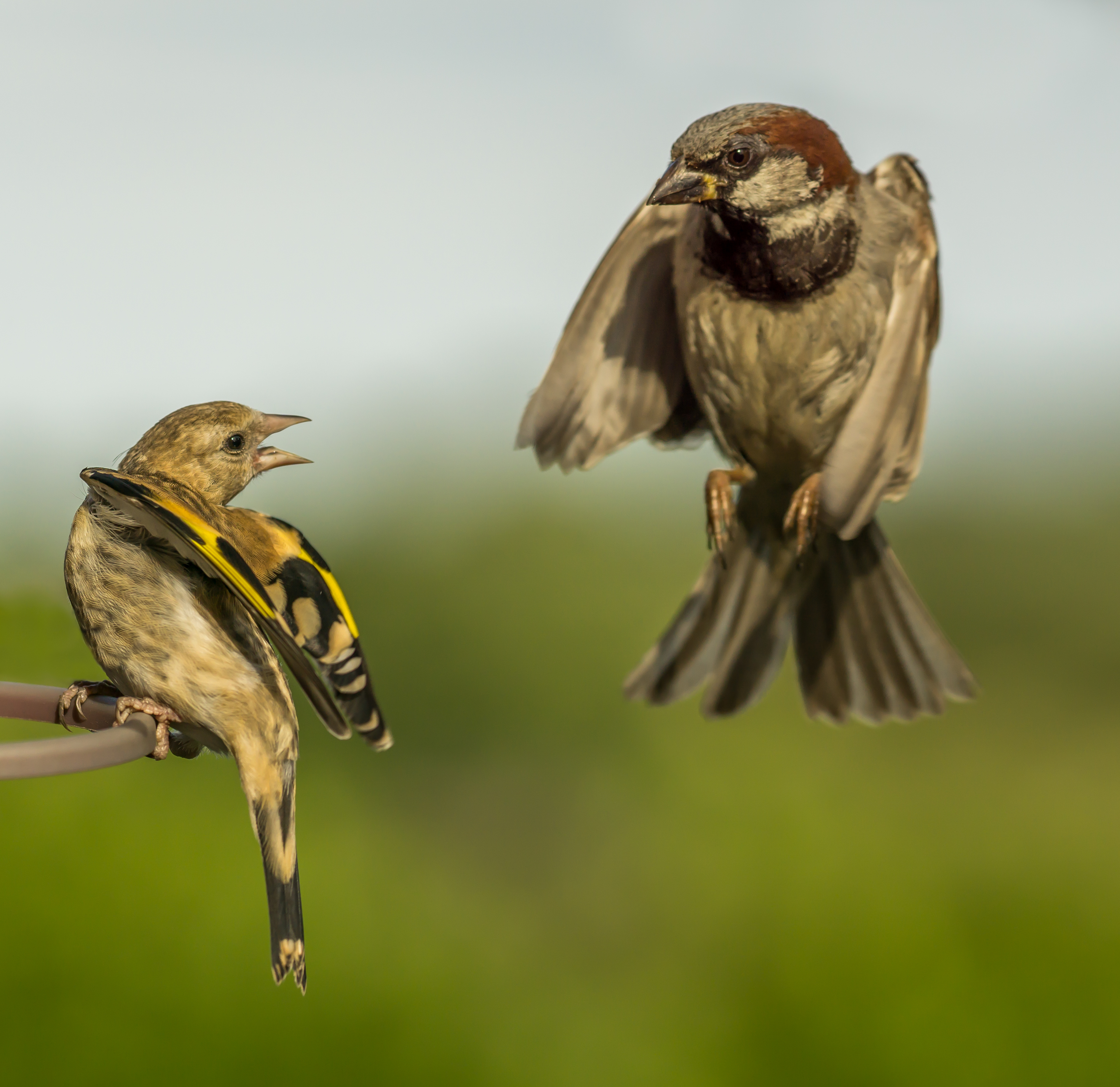 goldfinch warning off the approaching house sparrow