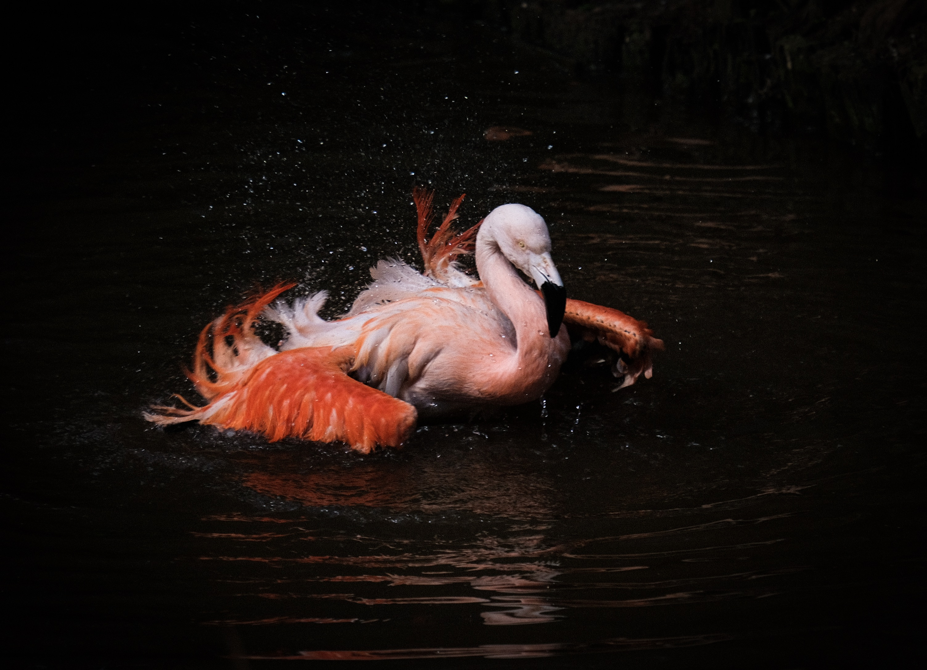 Flamingo Bathing