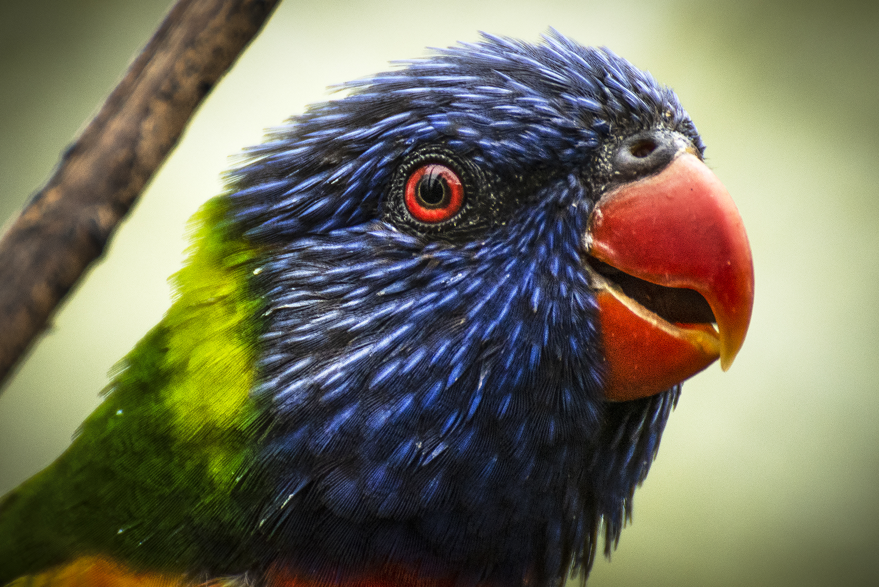 Rainbow lorikeet II