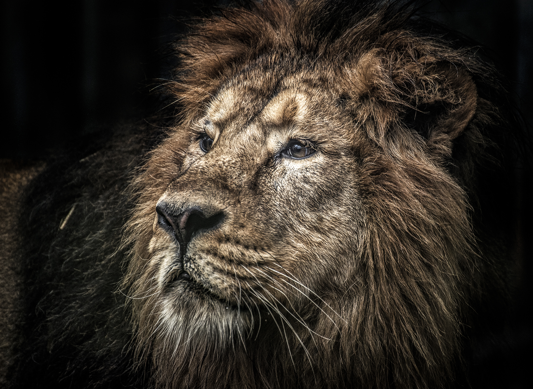 The king lion VII
