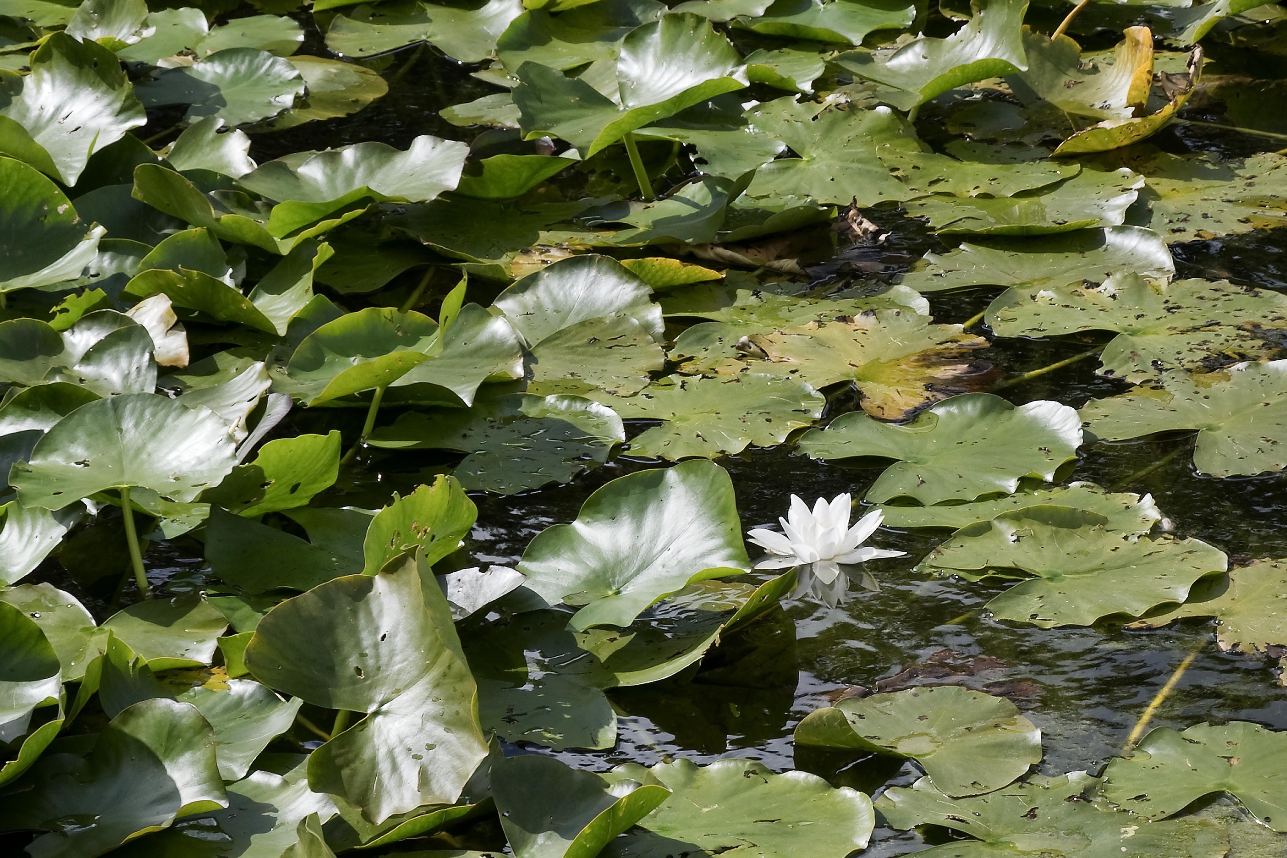 The last waterlily of summer