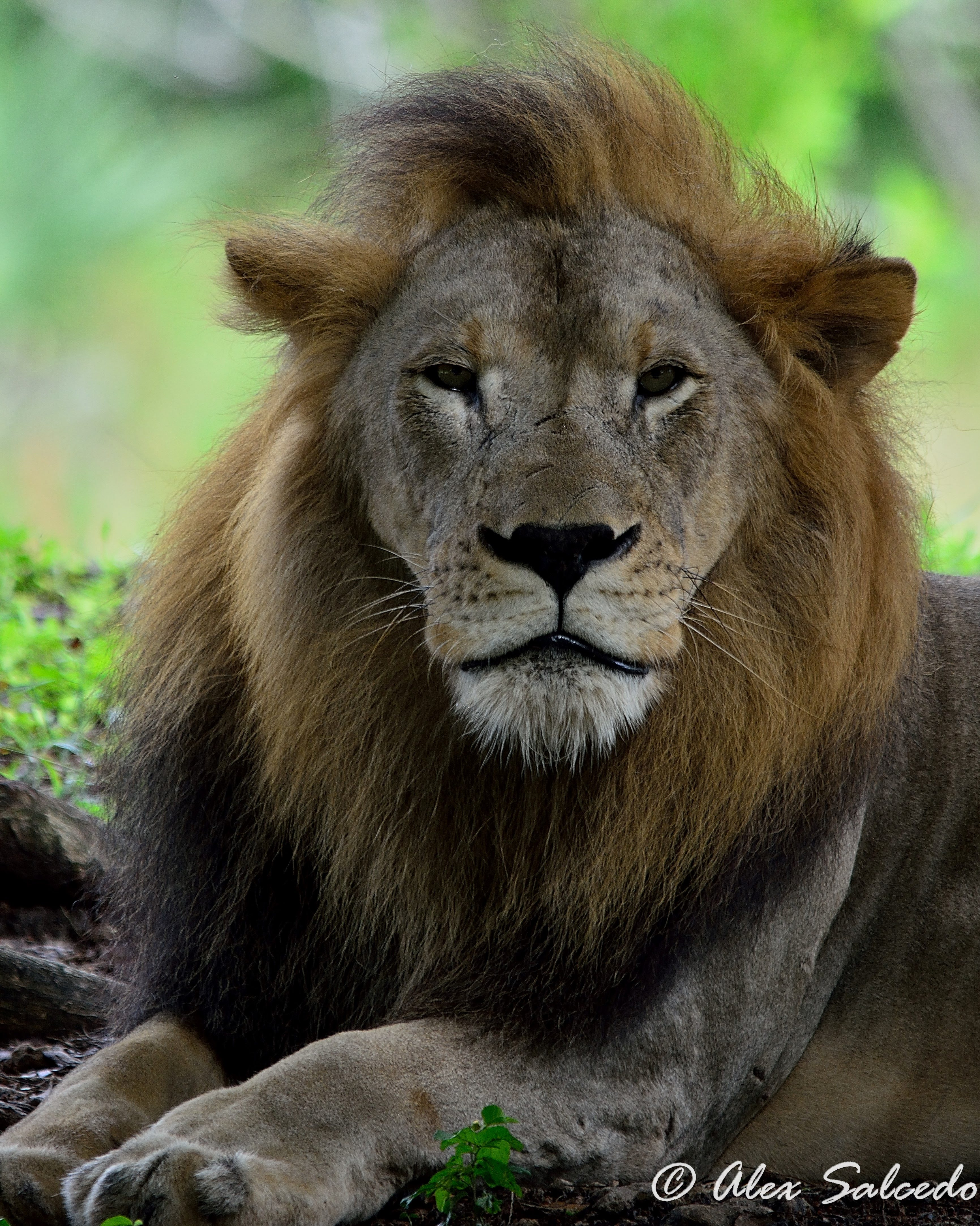 Portrait of an African Lion (Felis leo), male