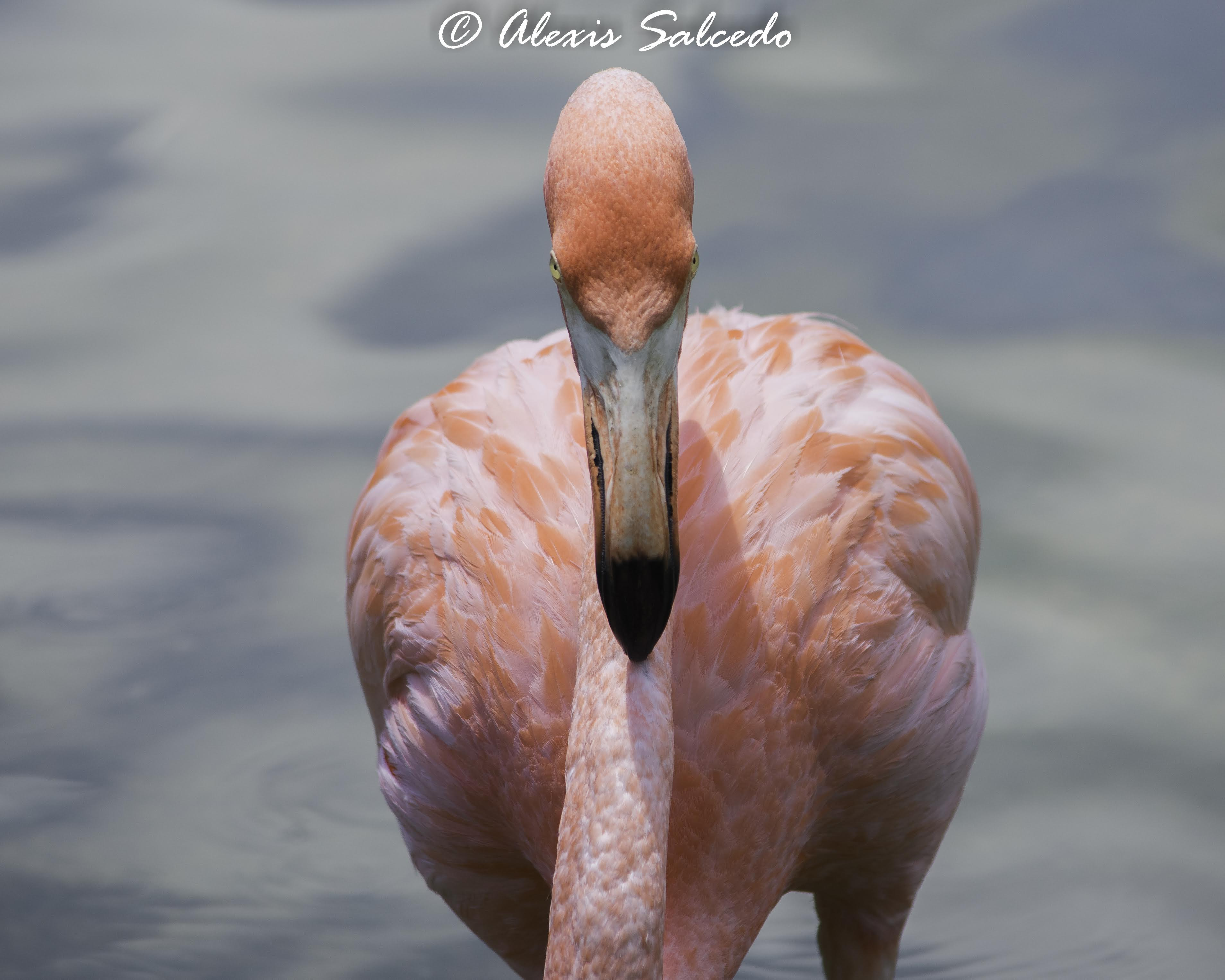 Stare contest with an American Flamingo (Phoenicopterus ruber)