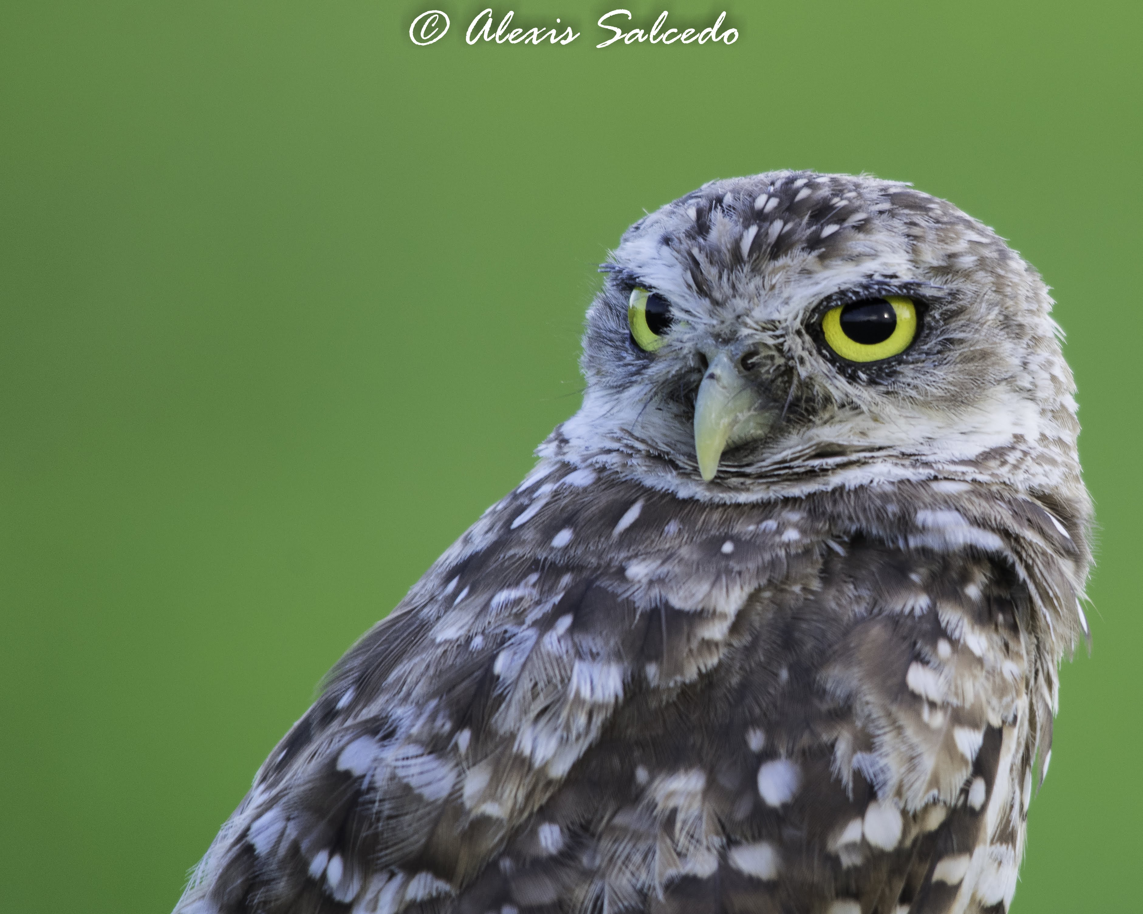 A nice close-up of a Burrowing Owl (Athene cunicularia)