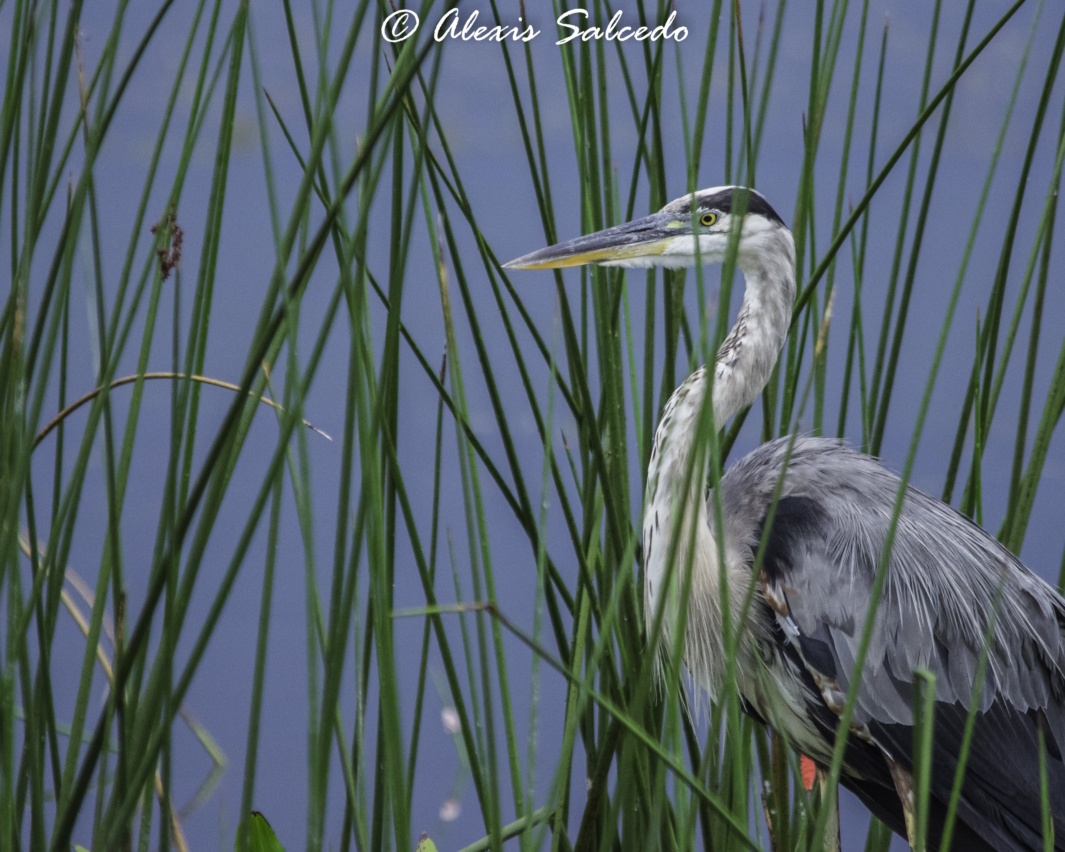 Great Blue Heron (Ardea herodias) among the Reeds