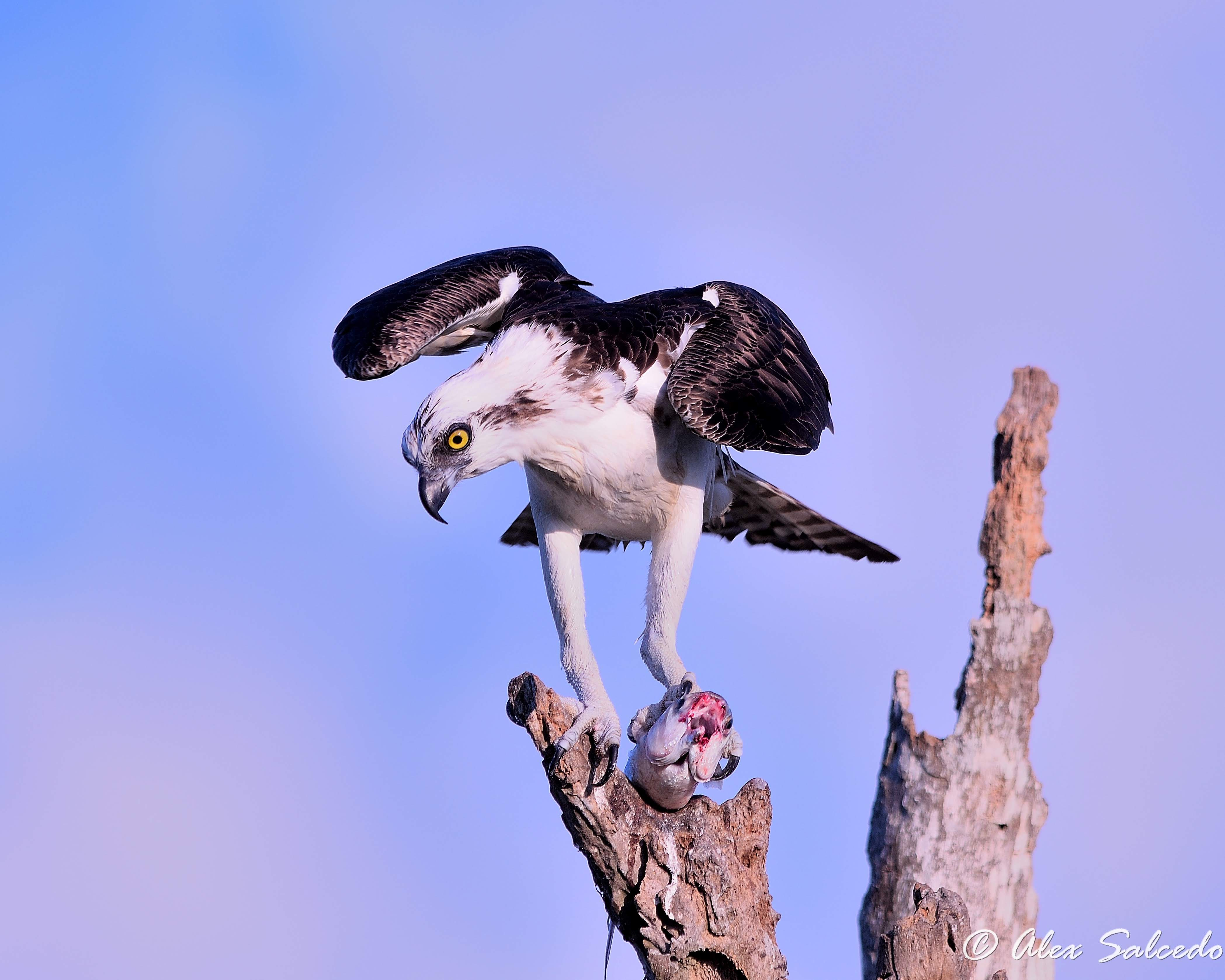 Osprey (Pandion haliaetus) and its prey #2