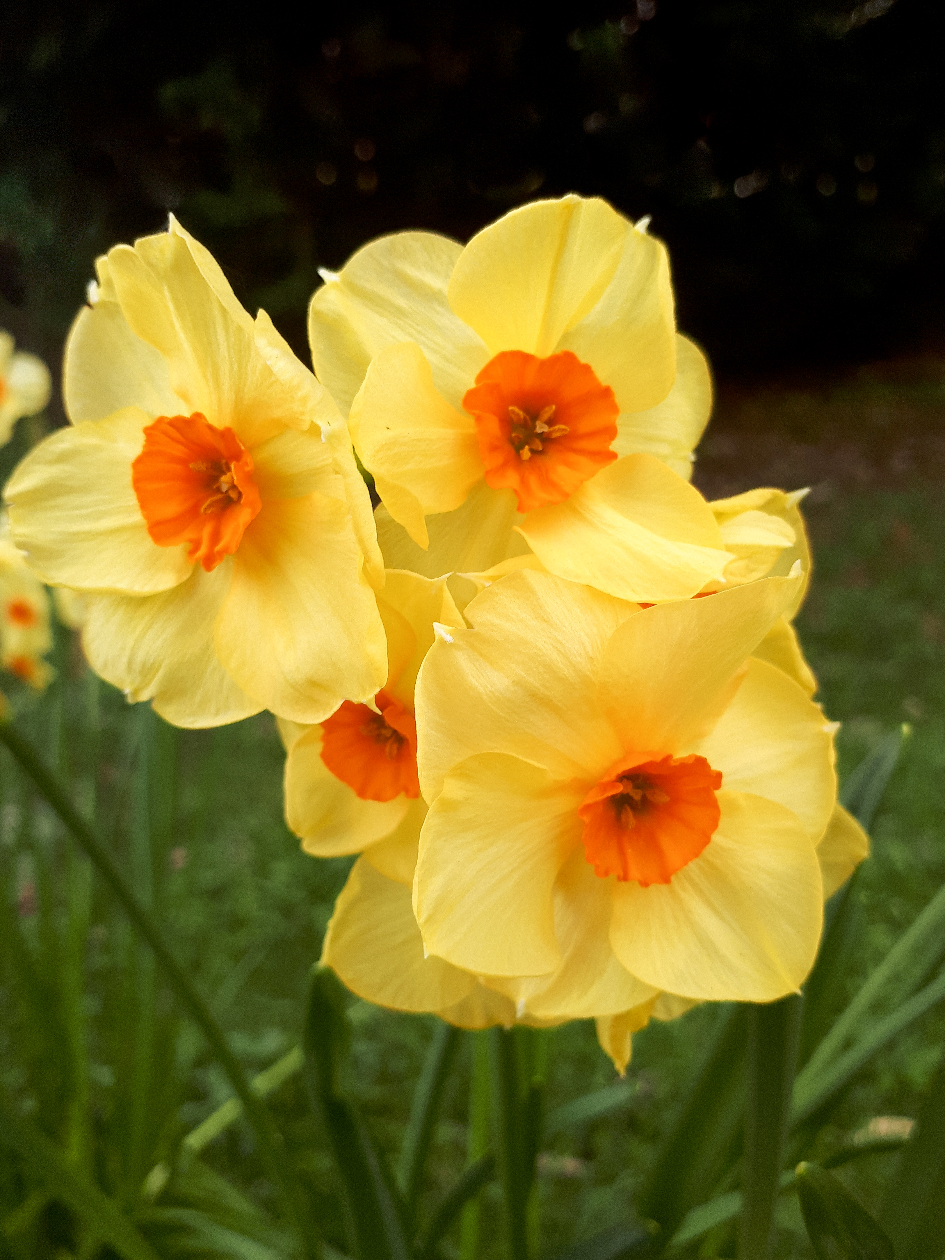 Small Orange and Yellow Daffodils in the Garden