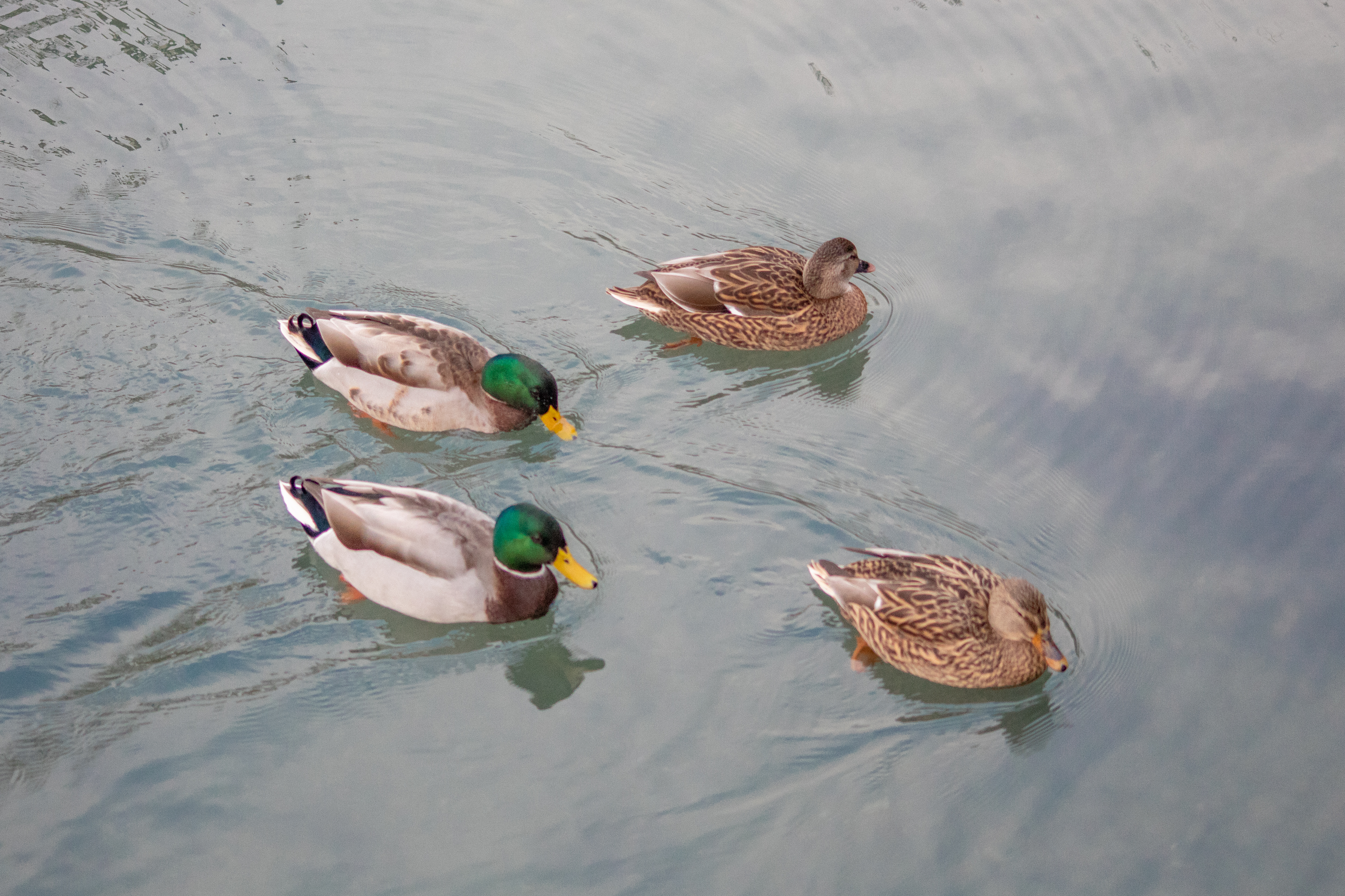 Two Drakes and Two Female Ducks Swimming in a River