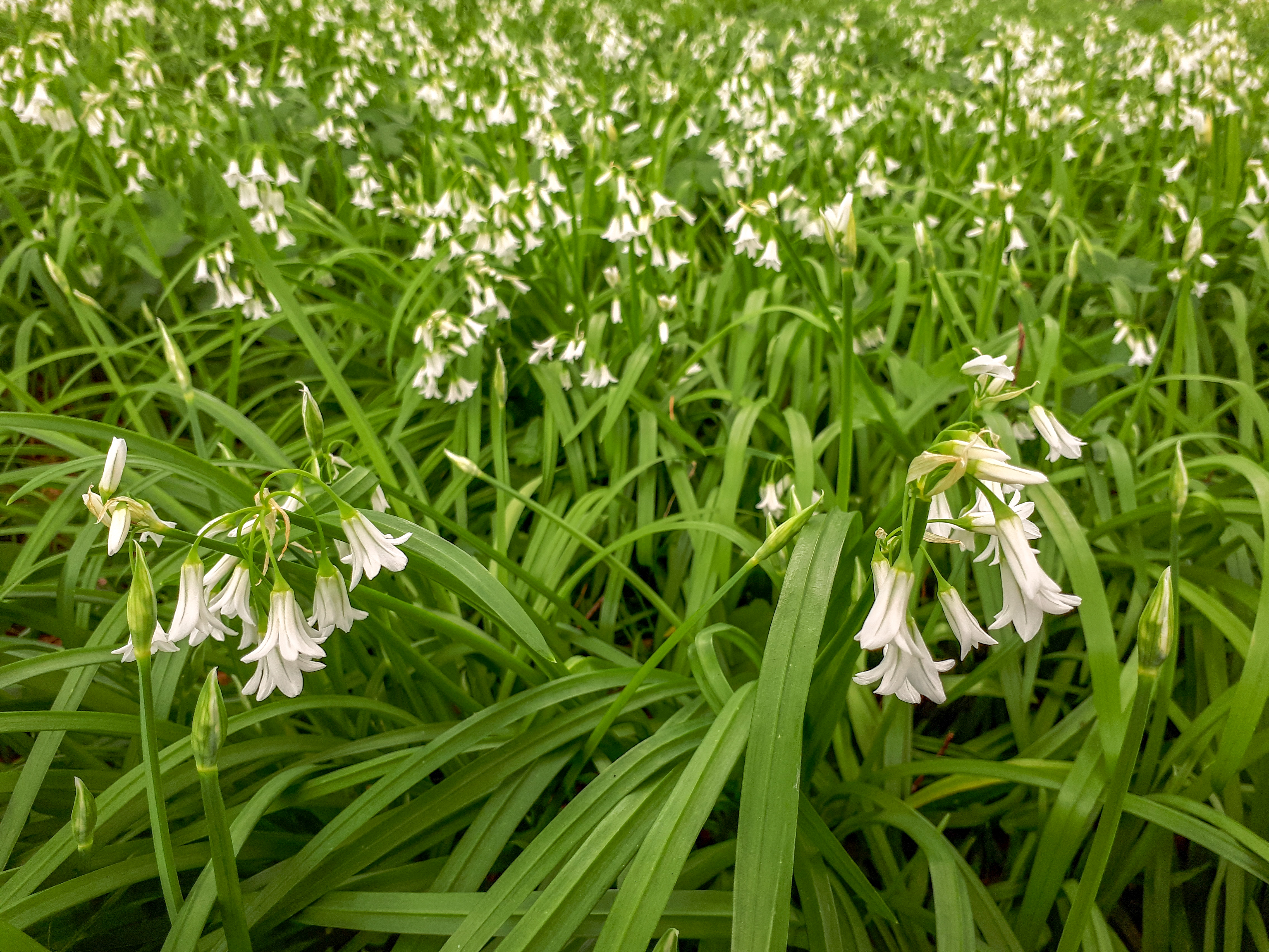 A Carpet of Three-Cornered Garlic Flowers in the Woods