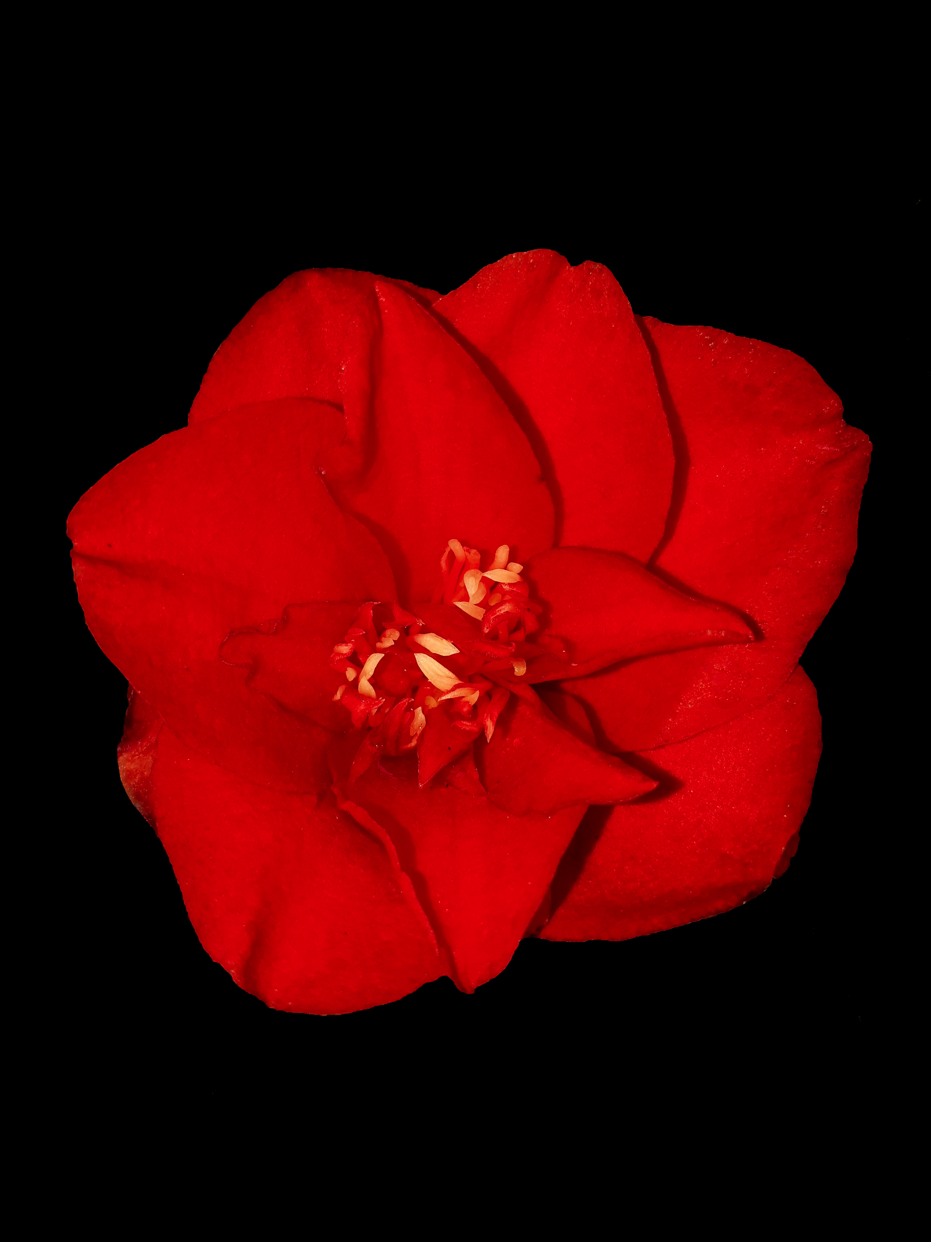Red Camelia Flower on Black
