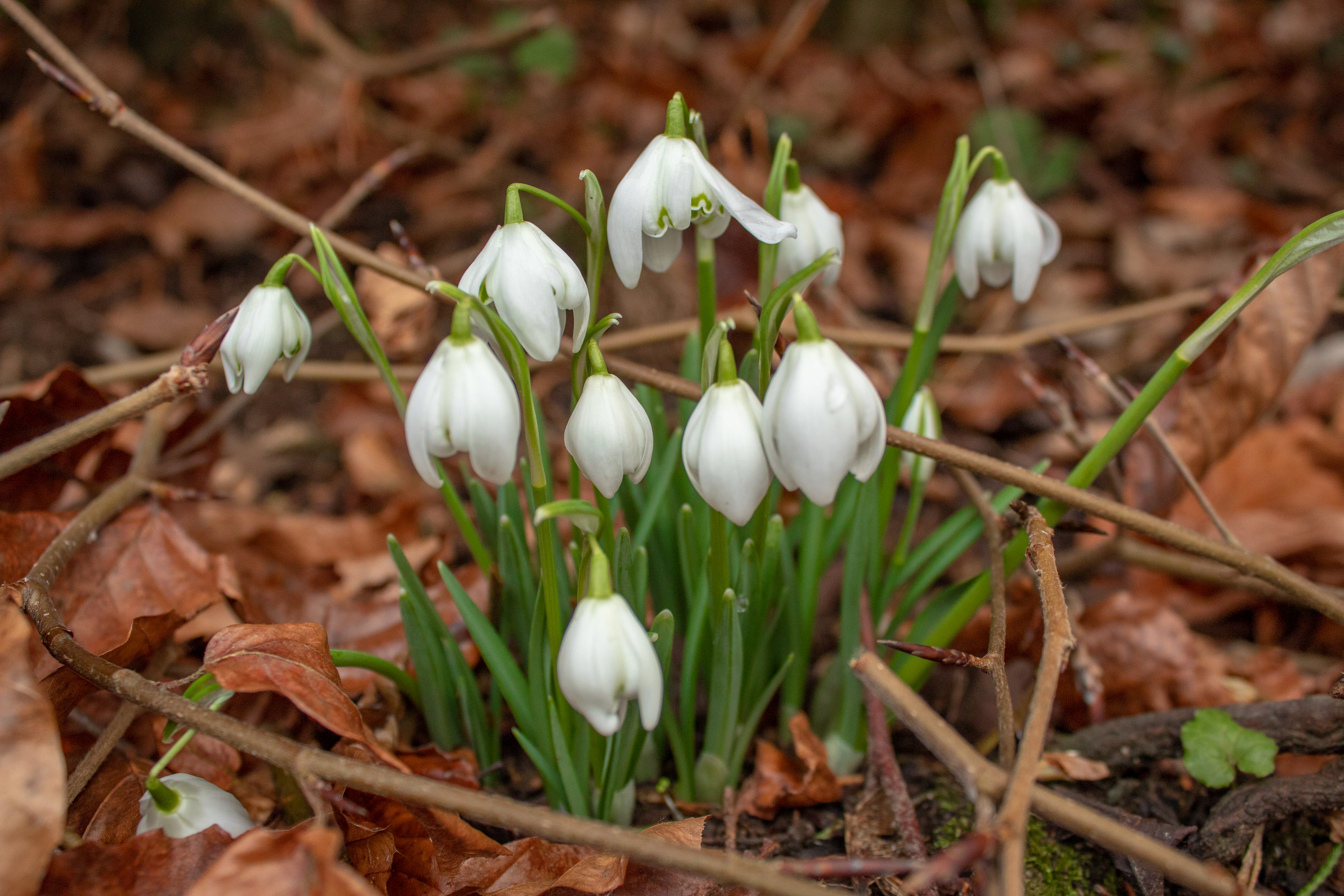 Cluster of White Snowdrops in the Woods