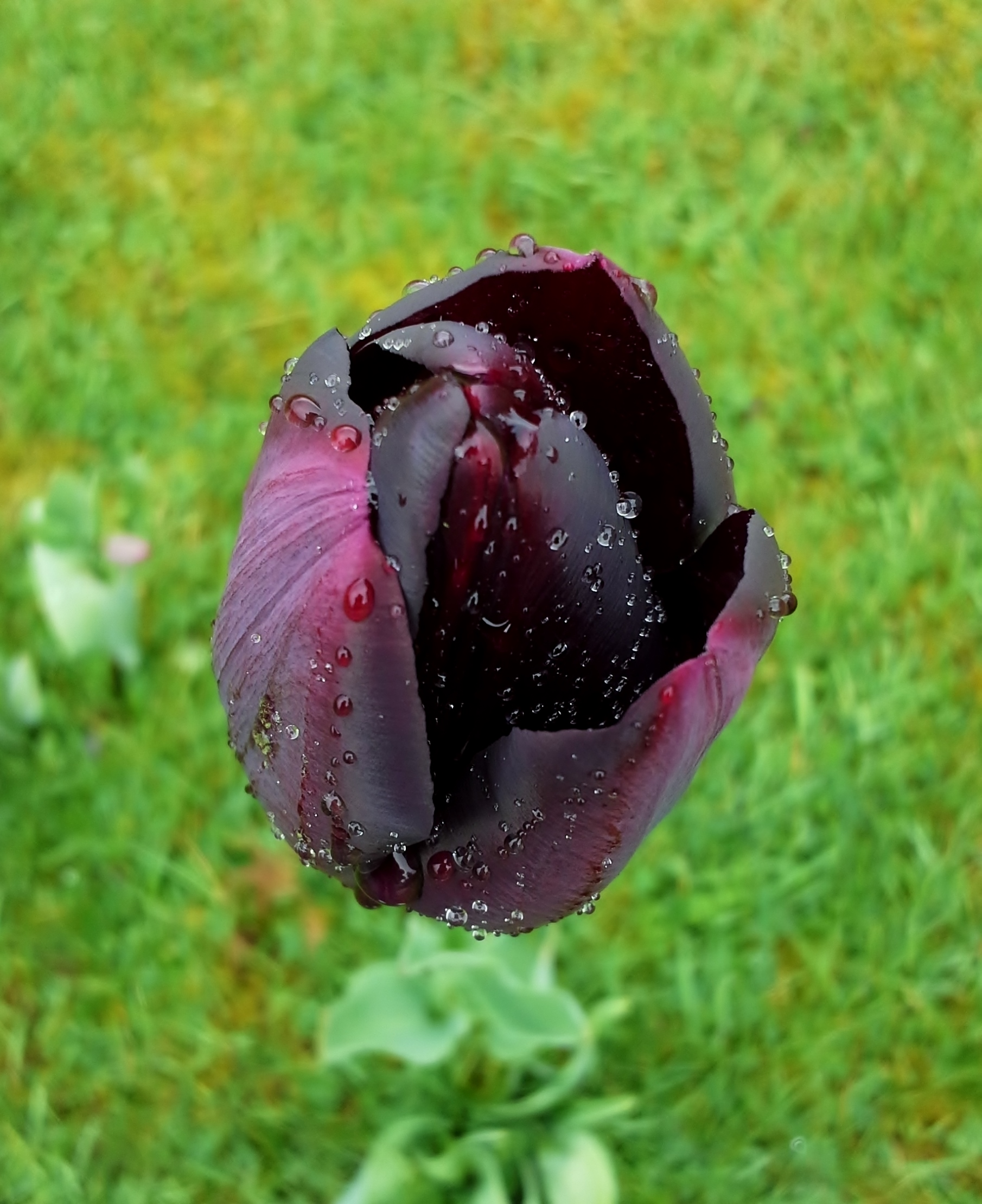 Raindrops on Purple Tulip on the Lawn
