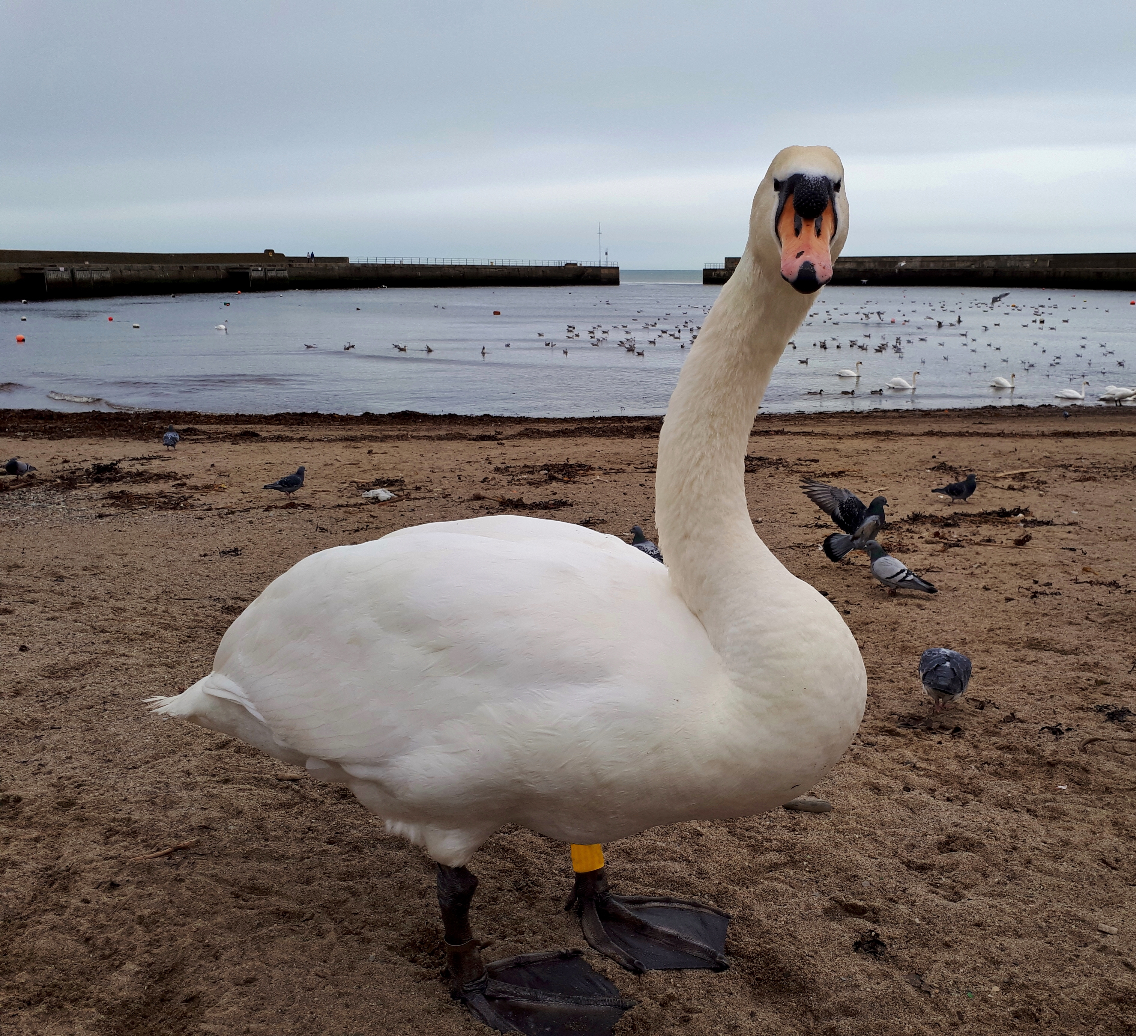 Mute Swan Looking at You