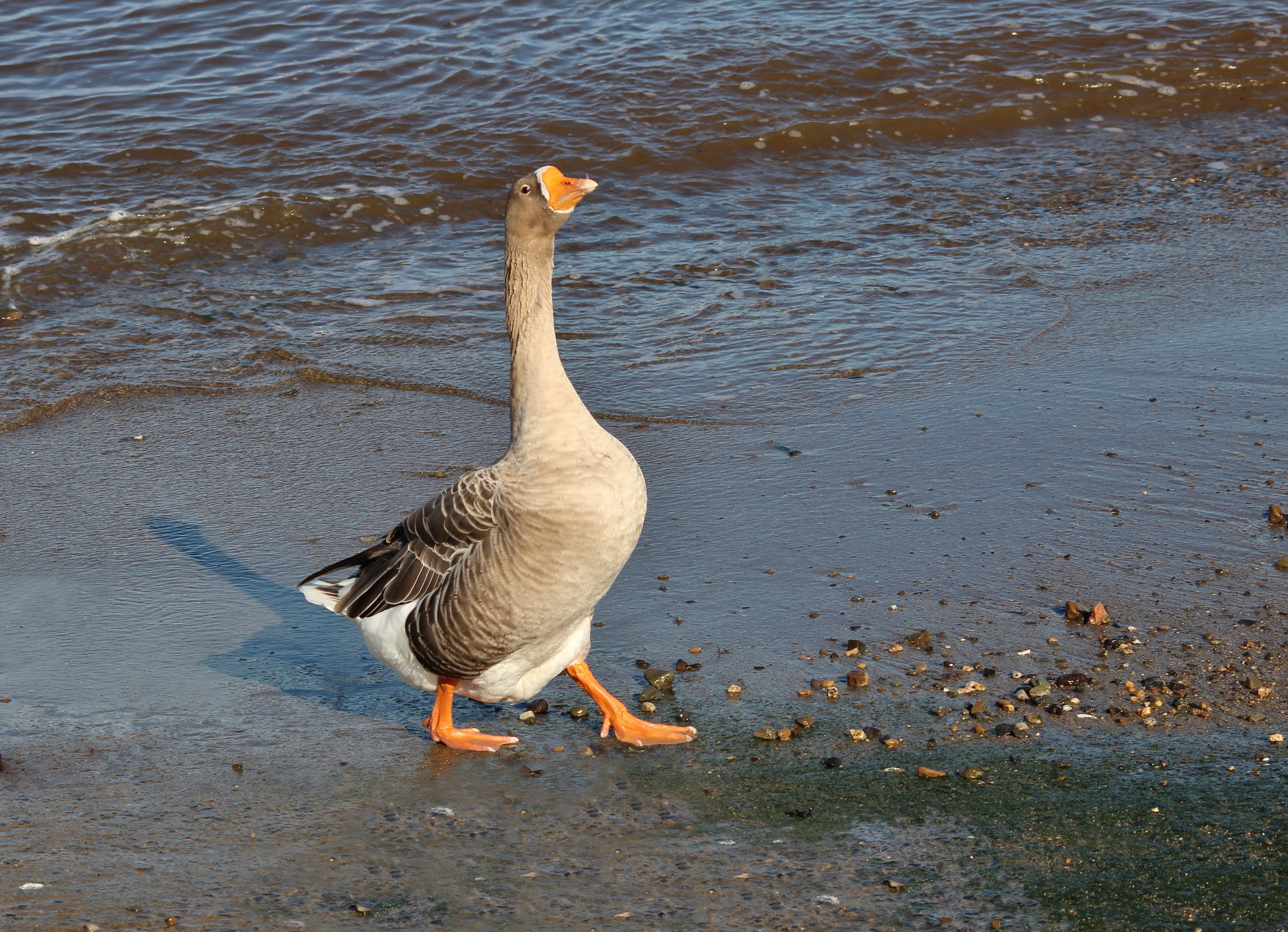 Proud Greylag Goose Walking on the Beach