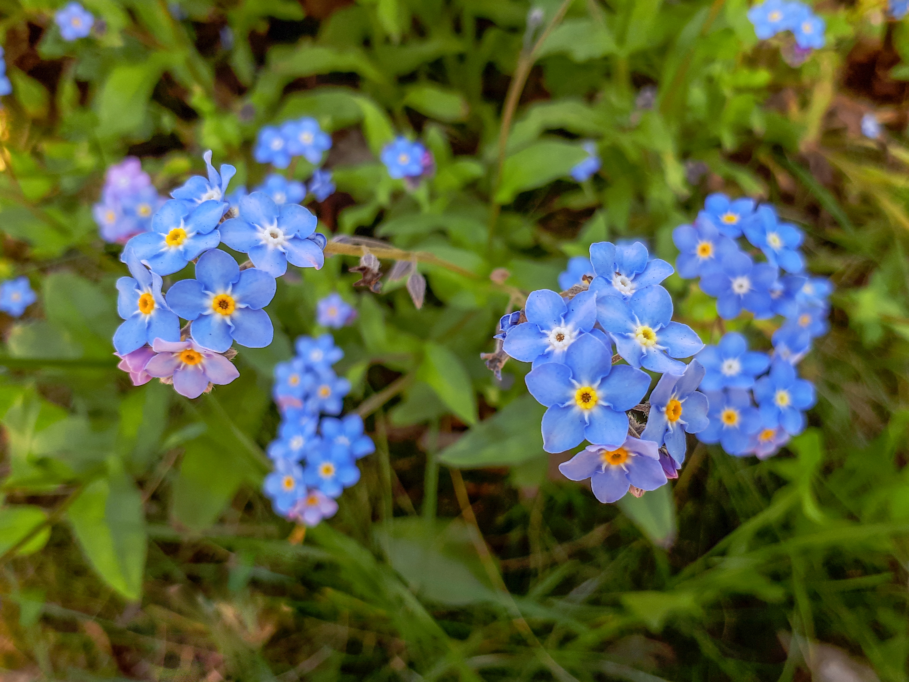 Blue Water Forget-me-not Flowers with Green Leaves