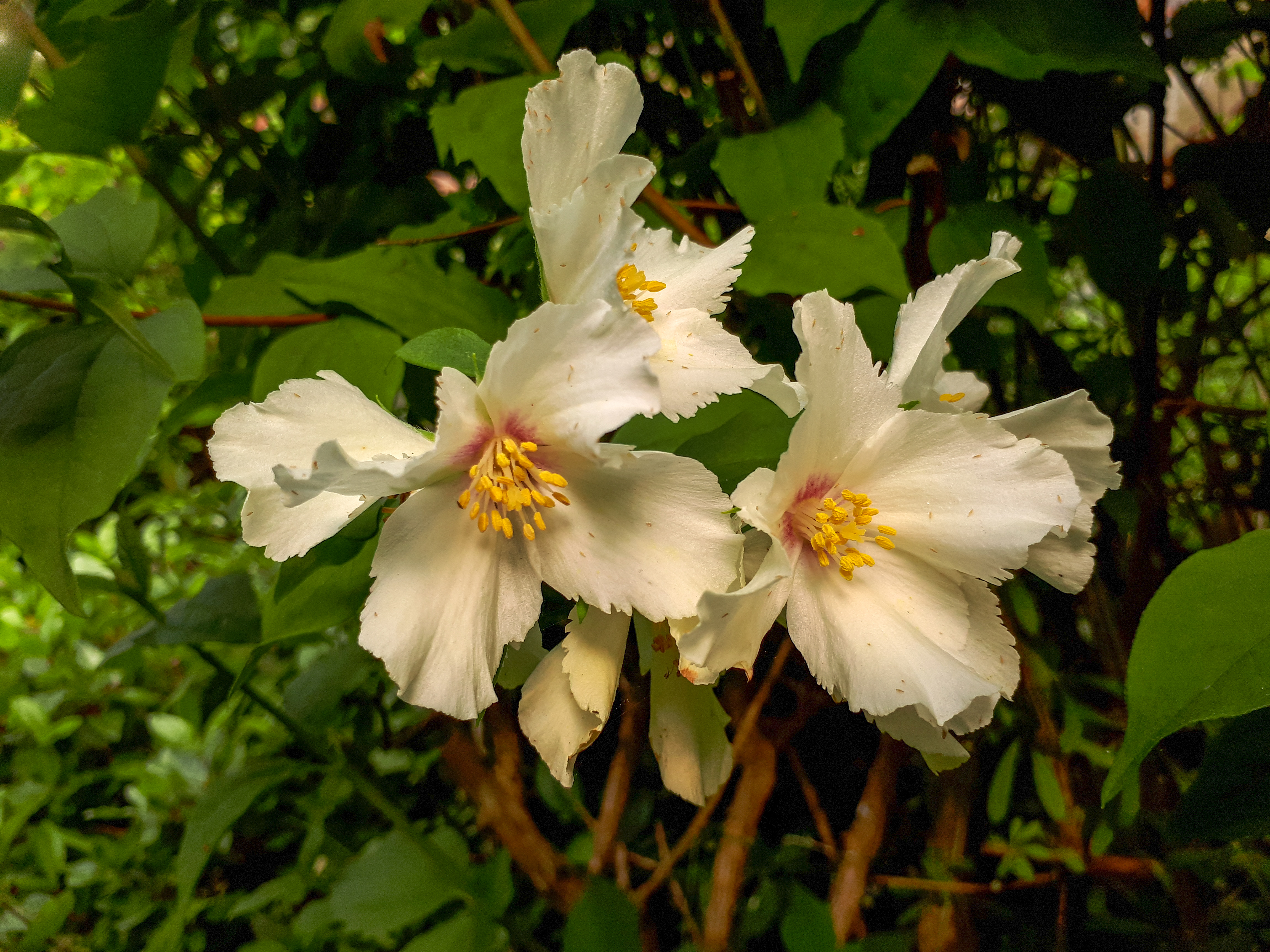 White Philadelphus Flowers in the Garden