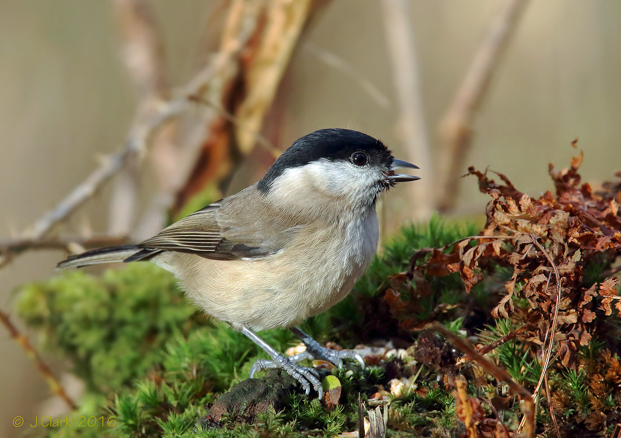 Marsh Tit  -  Poecile palustris