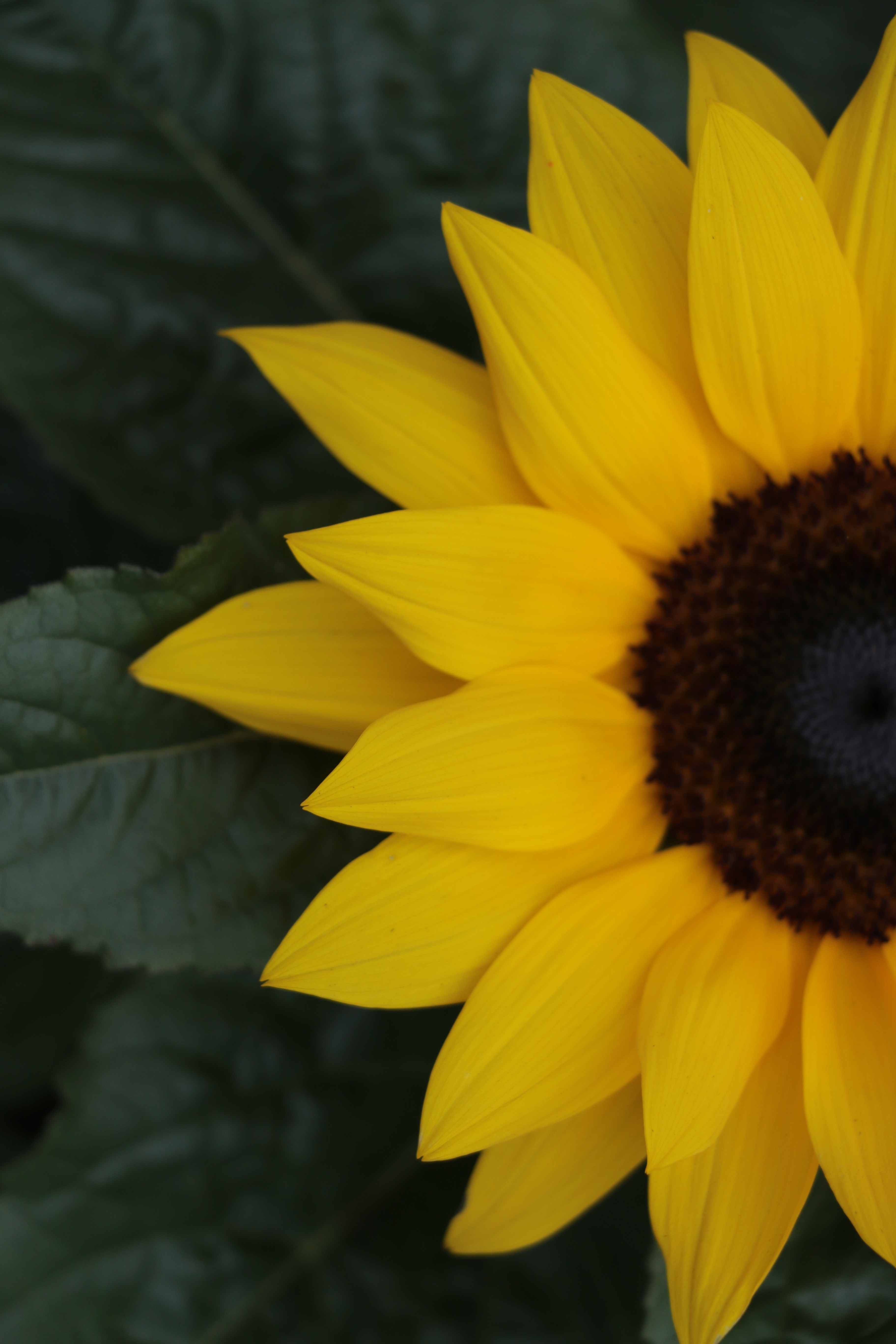 sunflower half