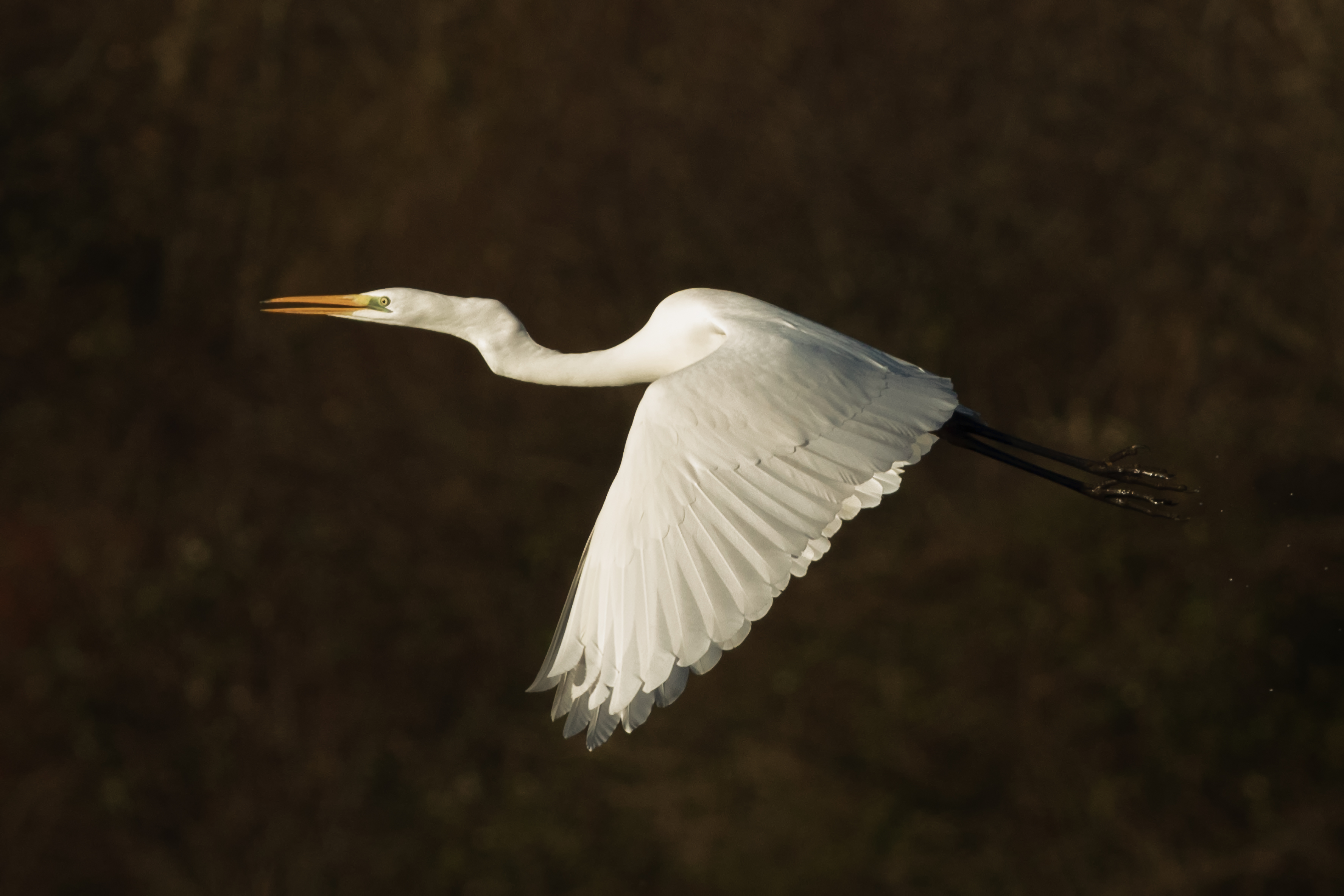 Great-white-egret-lytton-images-print-kent-wildlife-photography.jpg