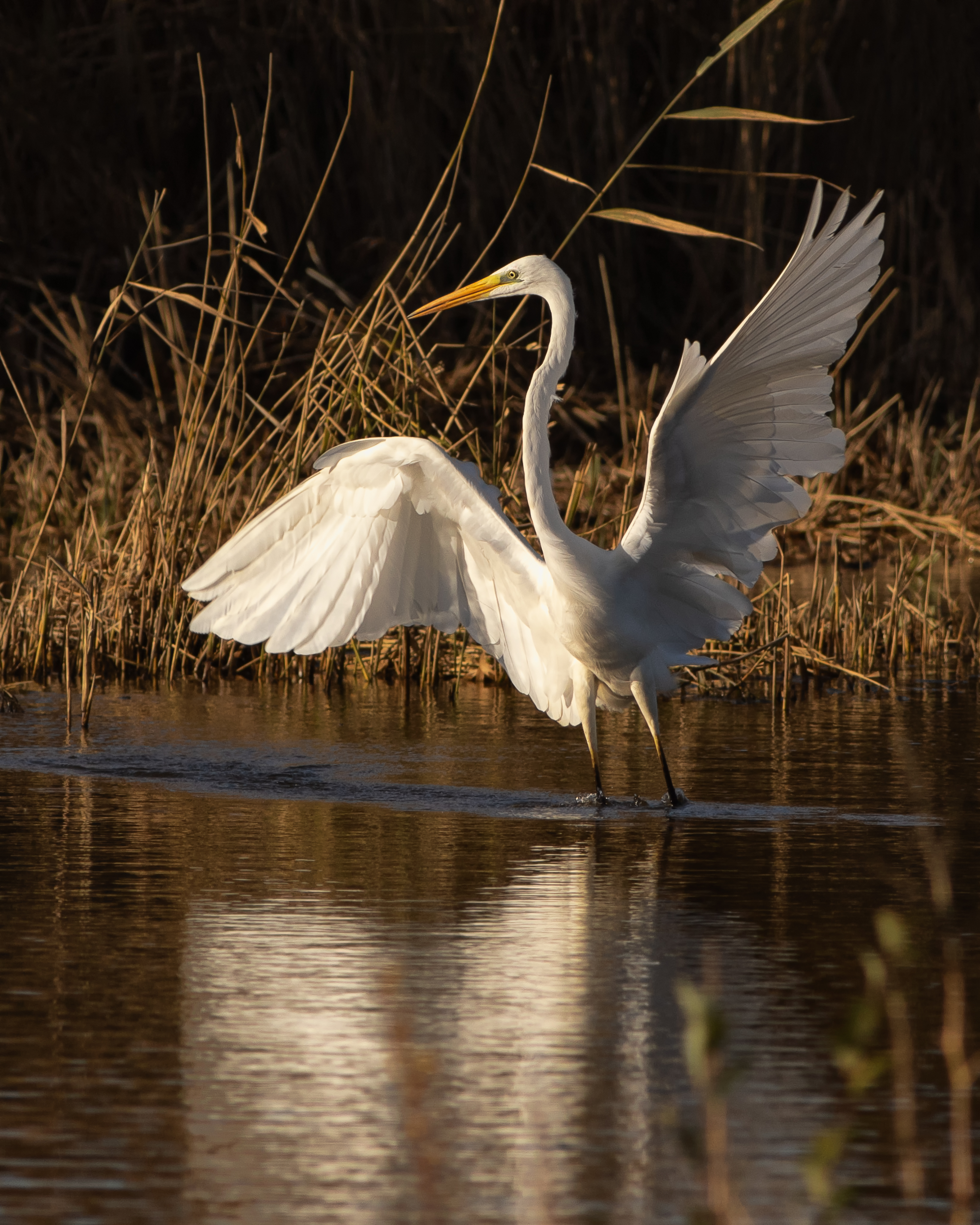 Great-white-Egret.jpg