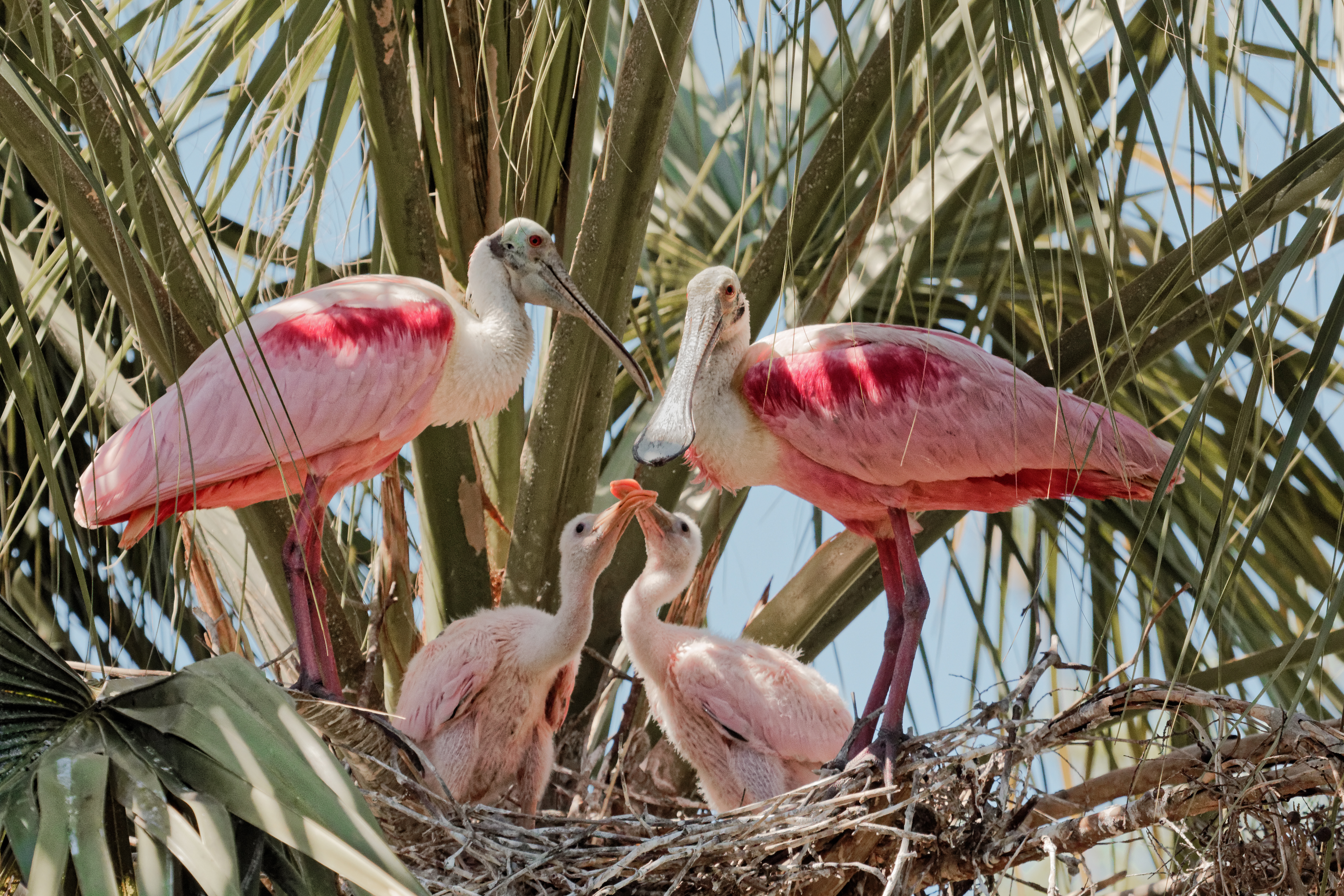 Family Portrait - The Spoonbills