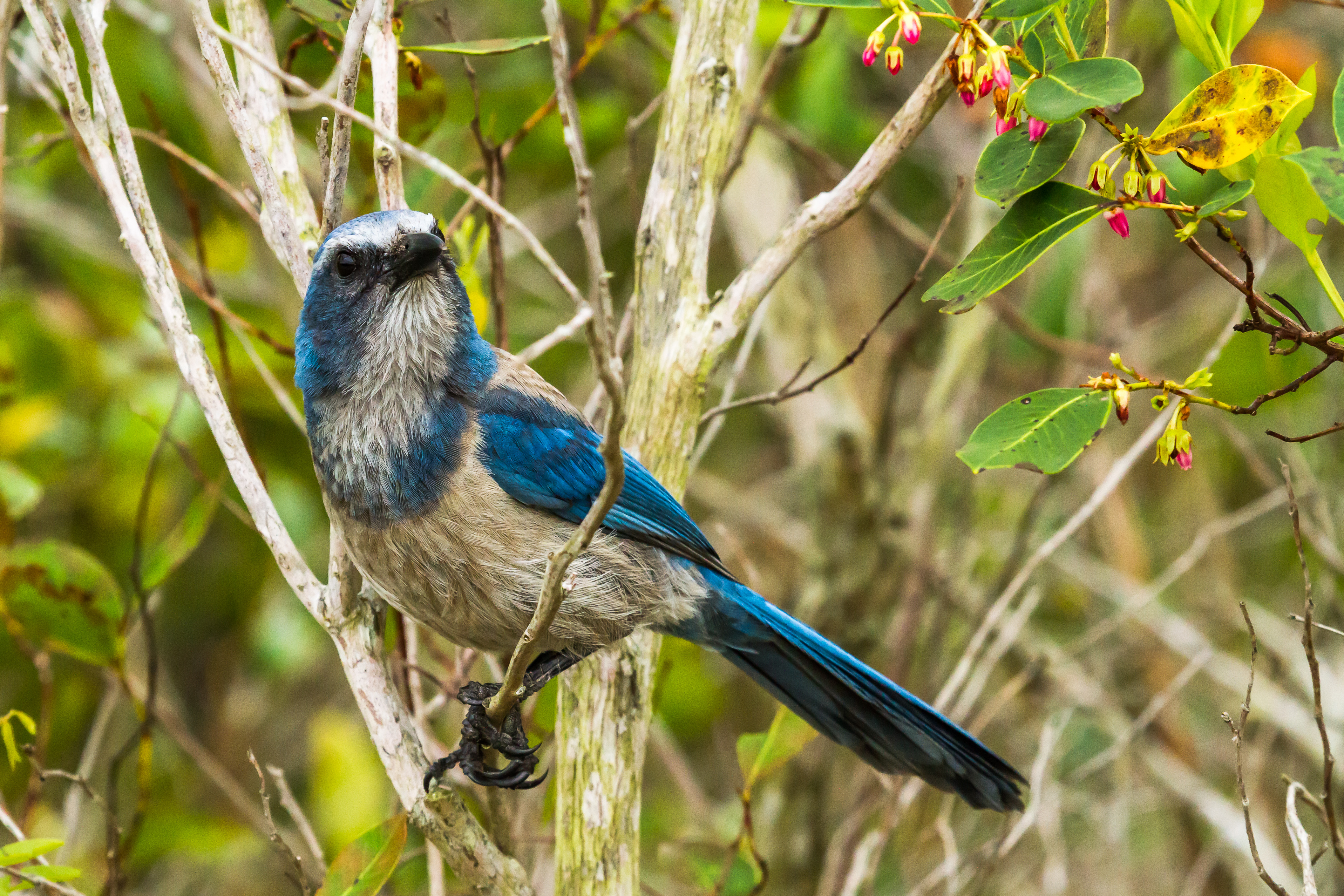 Florida Scrub Jay - Natural Setting