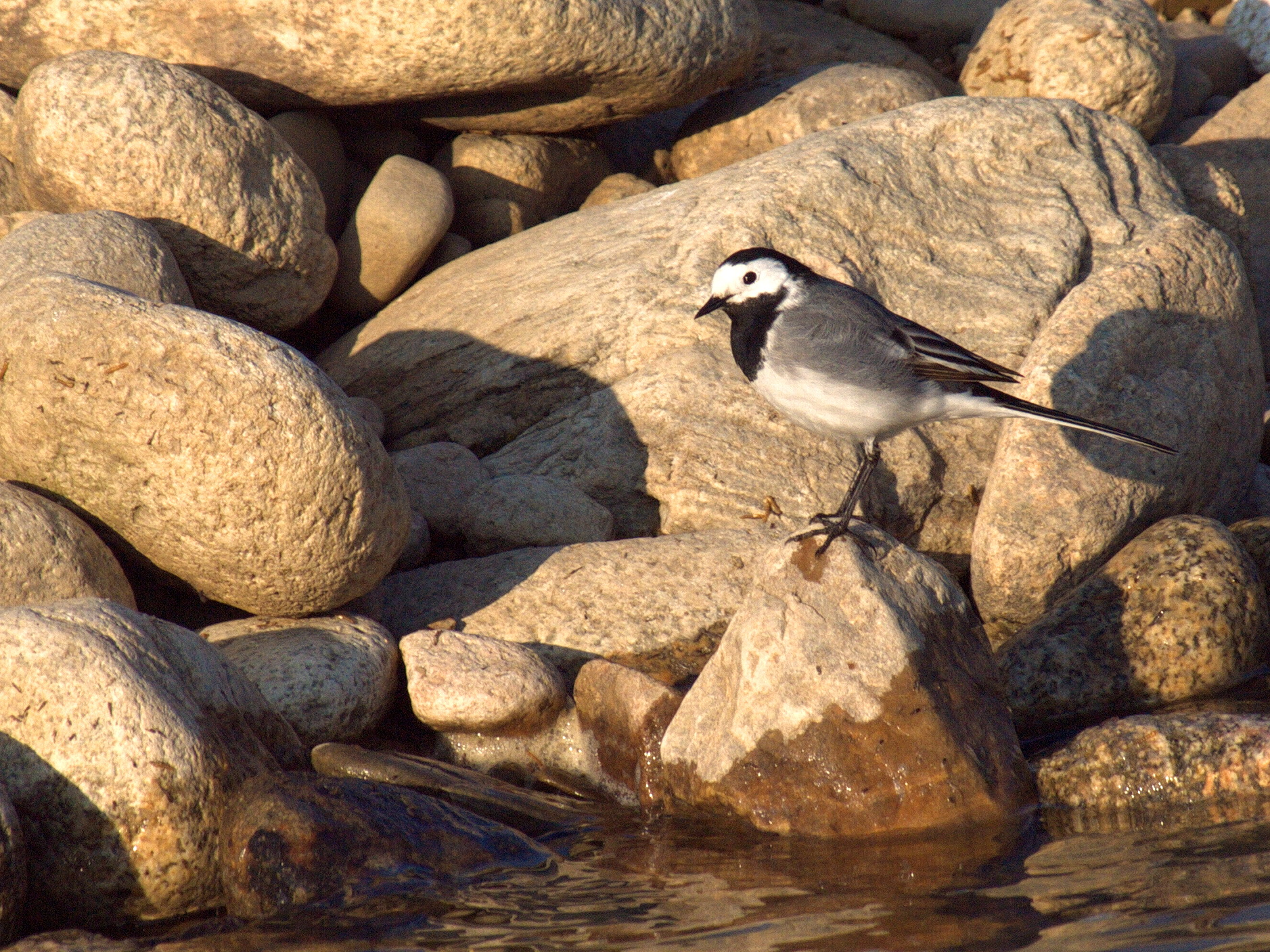 White wagtail on a rock by the river
