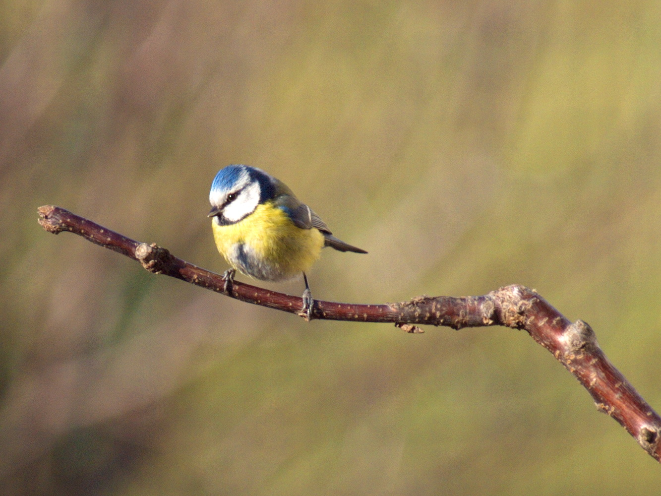 Eurasian blue tit on a branch