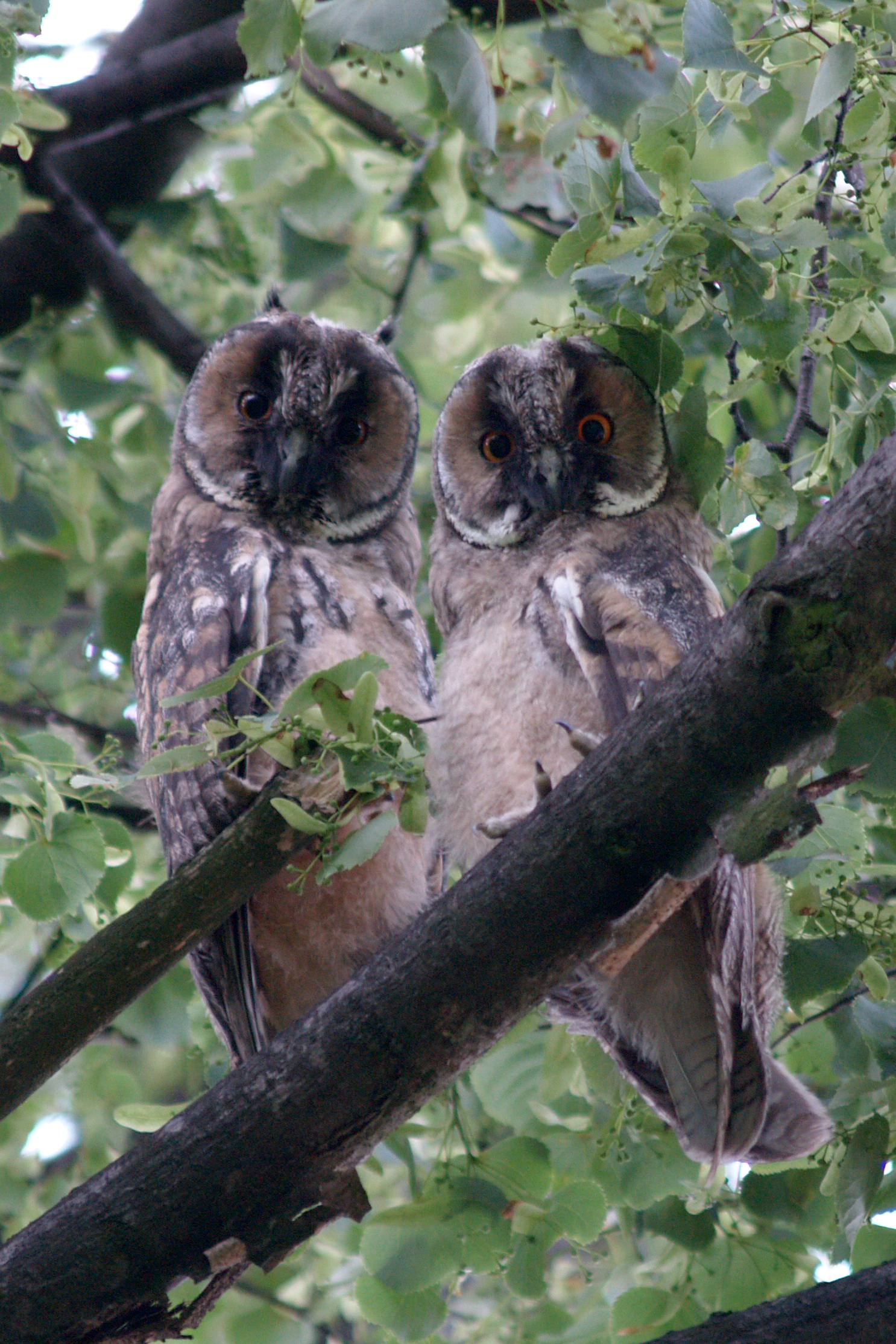 Two young owls in a tree