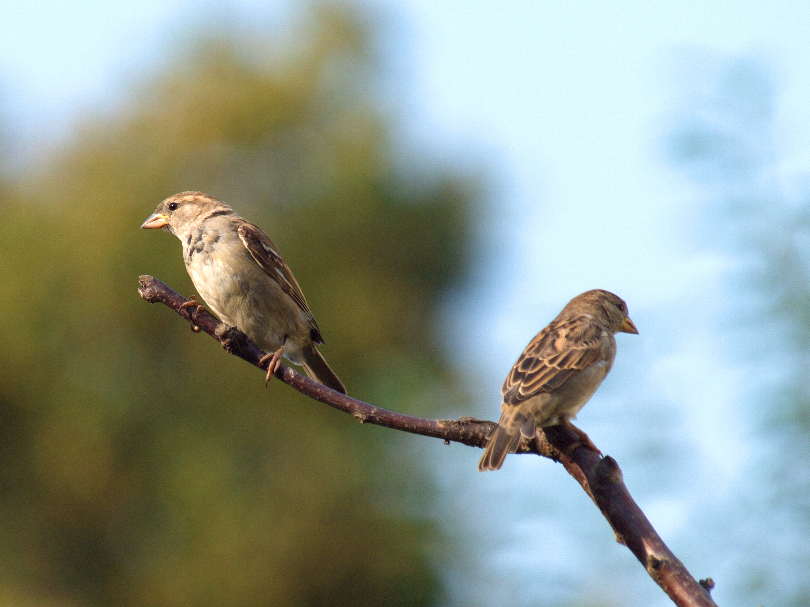 Two sparrows after an argument