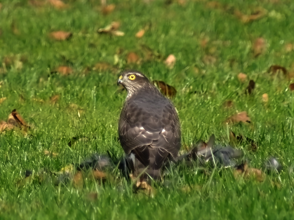 Sparrowhawk having lunch