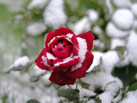 Snow on a red flower
