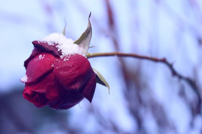 Snow on a red flower 2