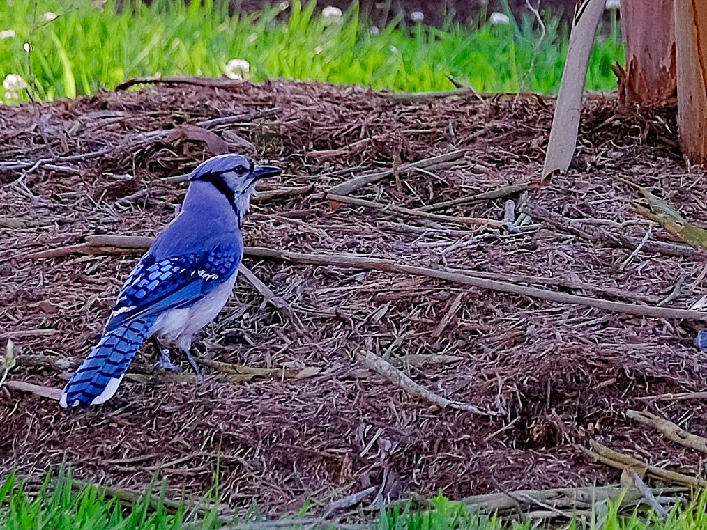 Adult Blue Jay (Edited)