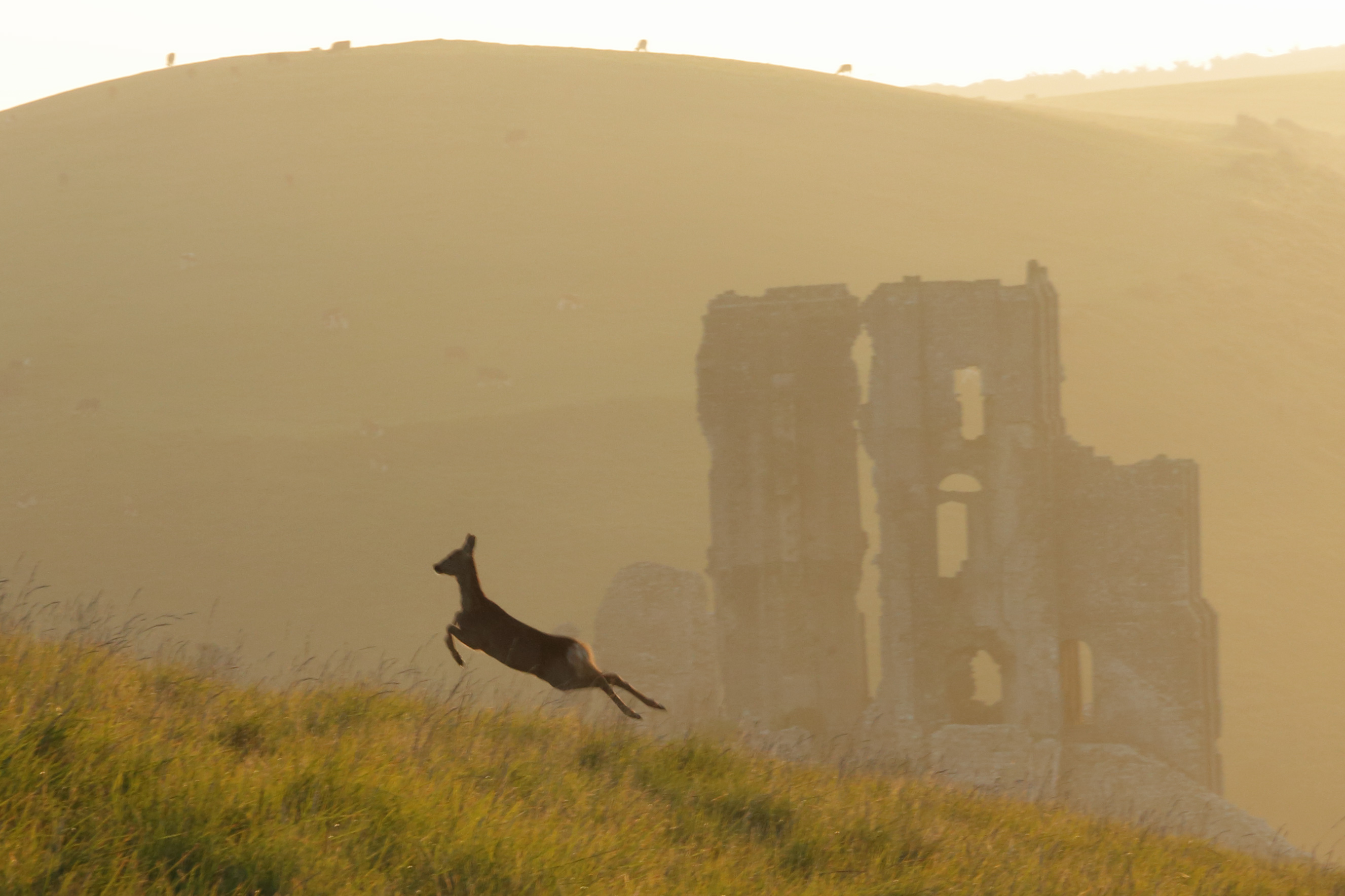 Deer leaping on hill above corfe castle 3700
