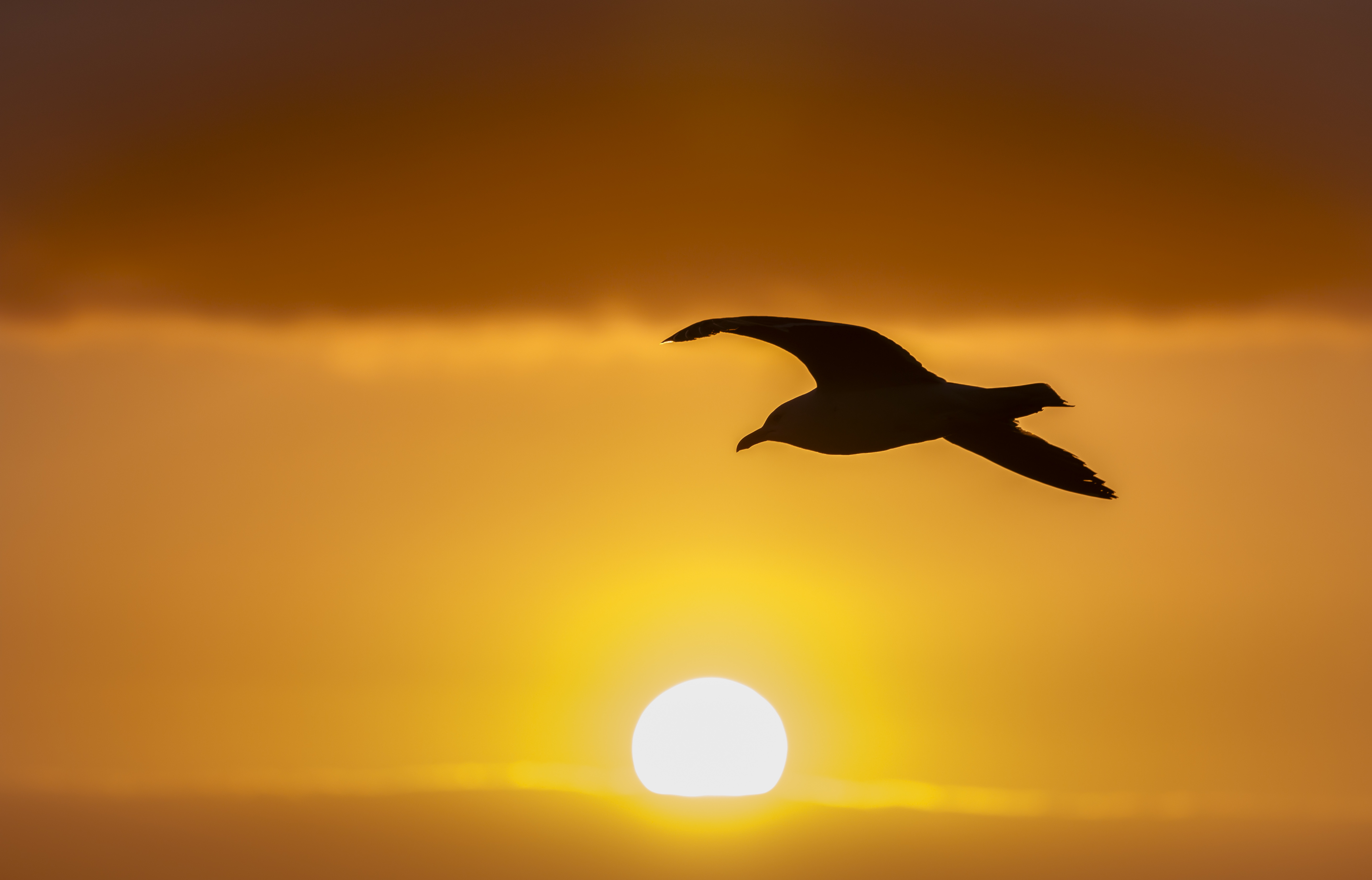 Seagull dawn flight sun 7825