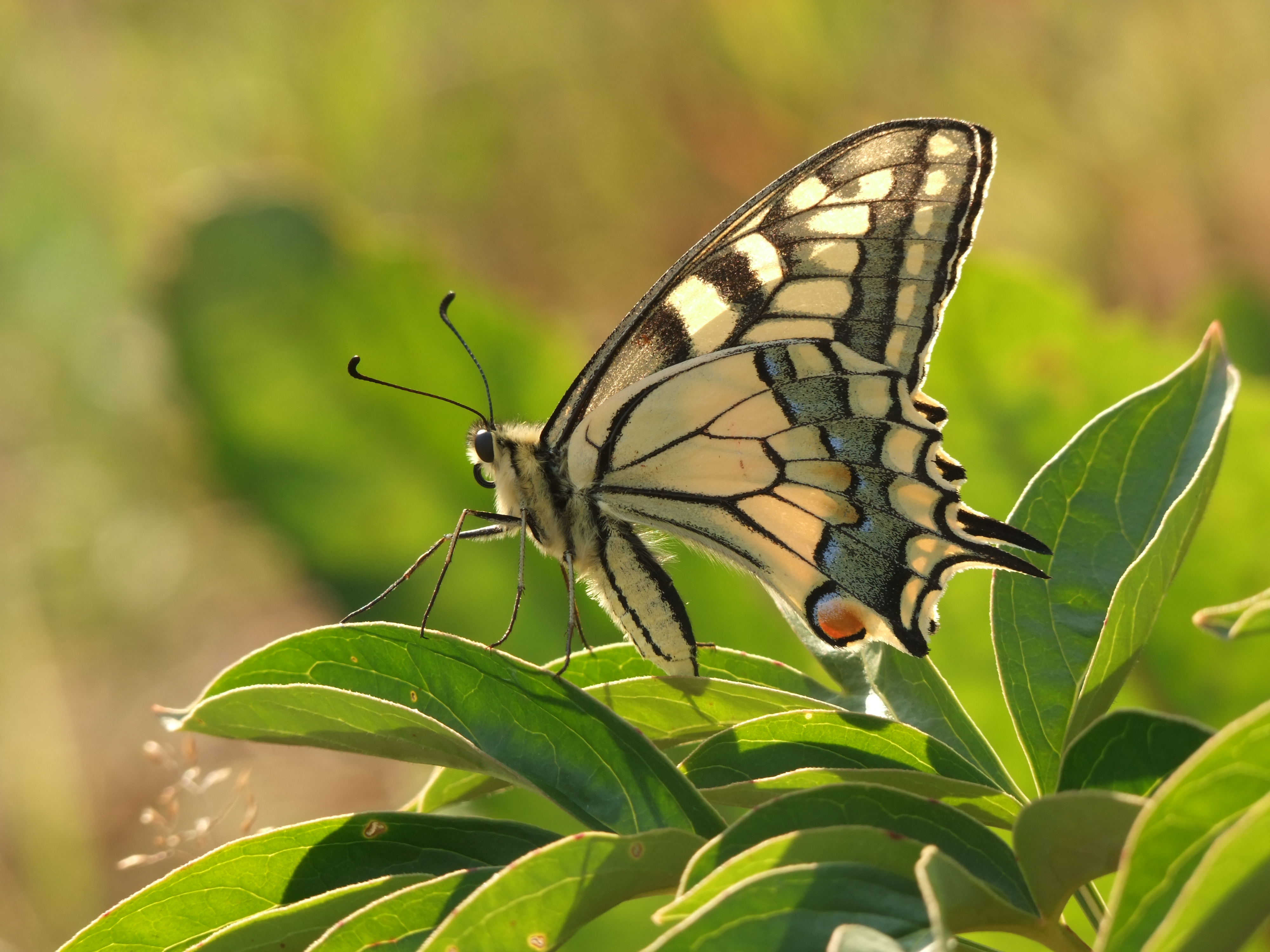 Machaon butterfly. Swallowtail