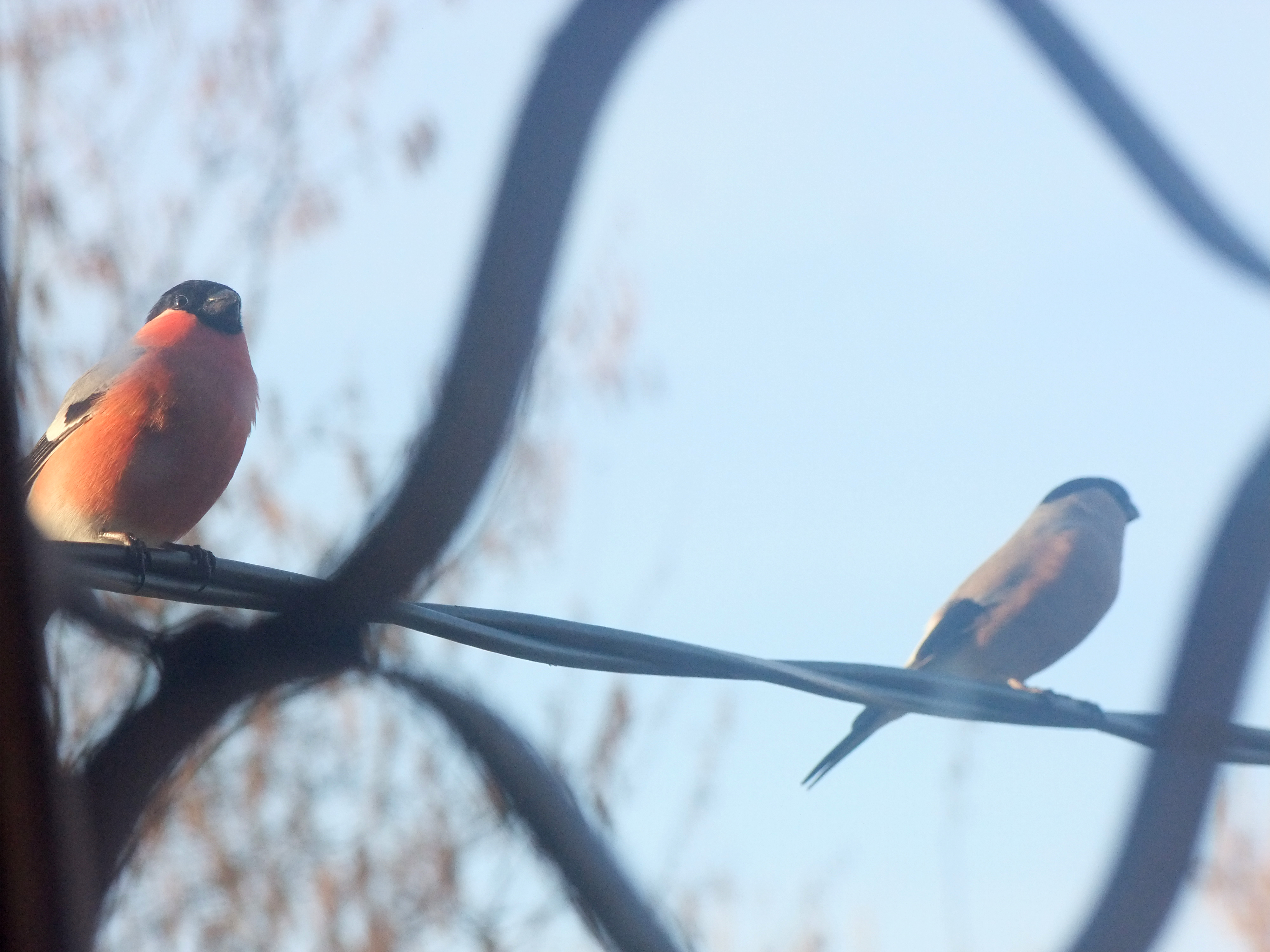 A pair of Bullfinches