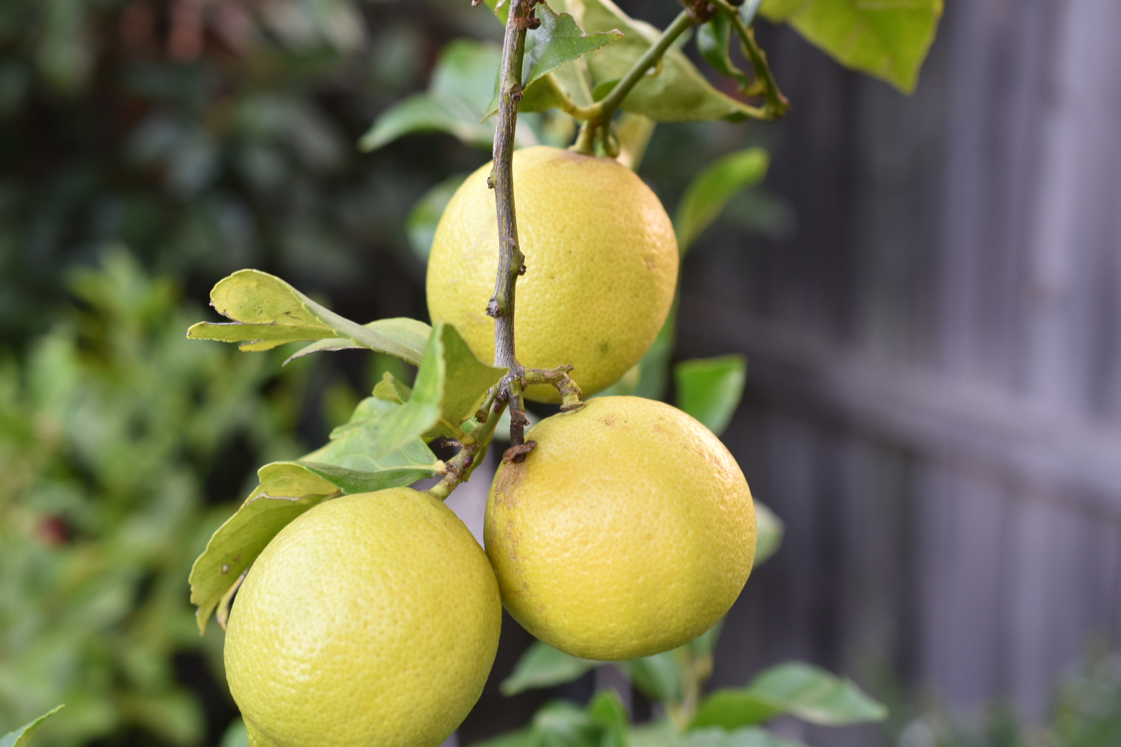 Gorgeous fresh lemons hanging in the tree
