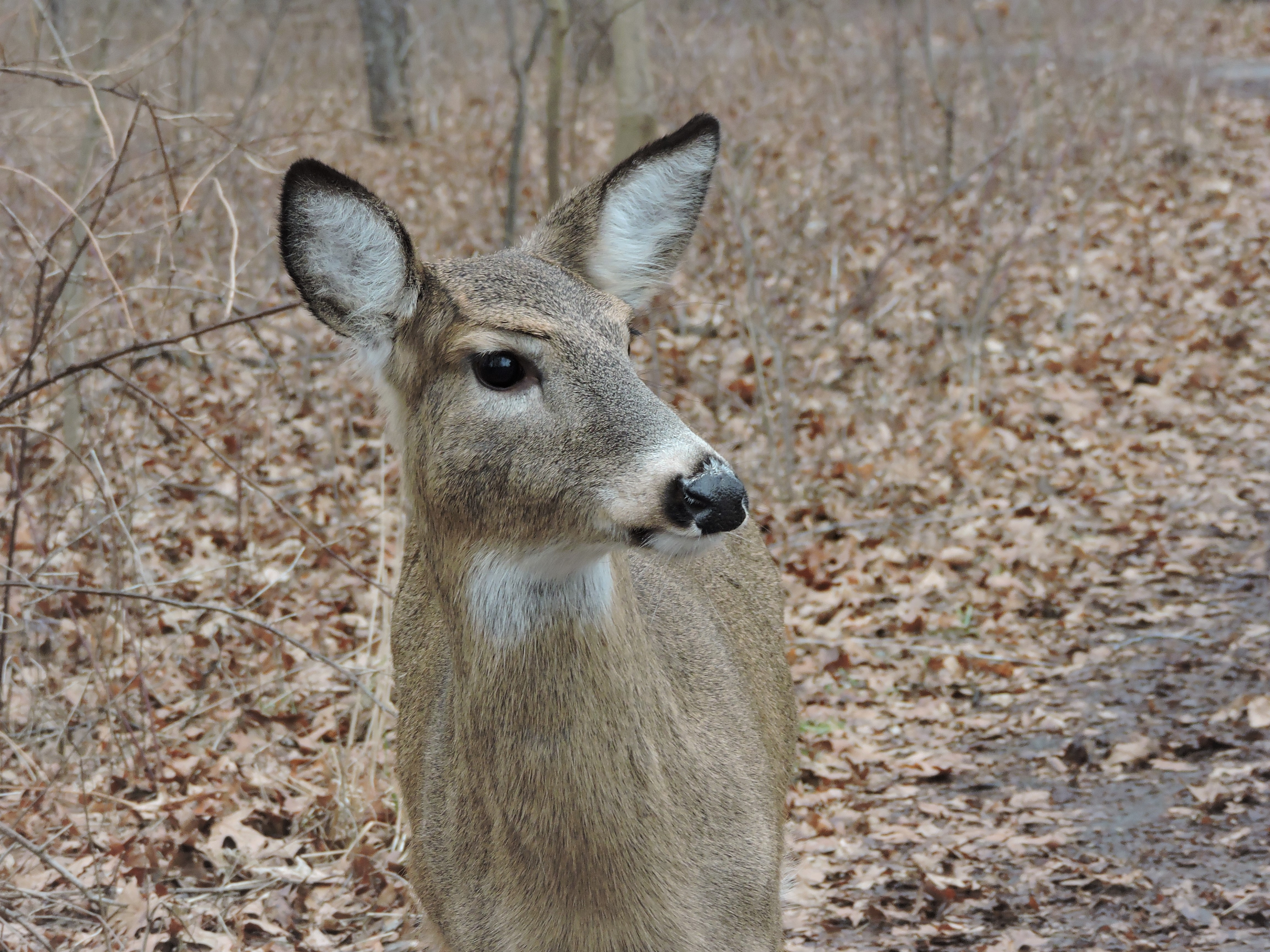 Solo Deer Looking sideways.jpg
