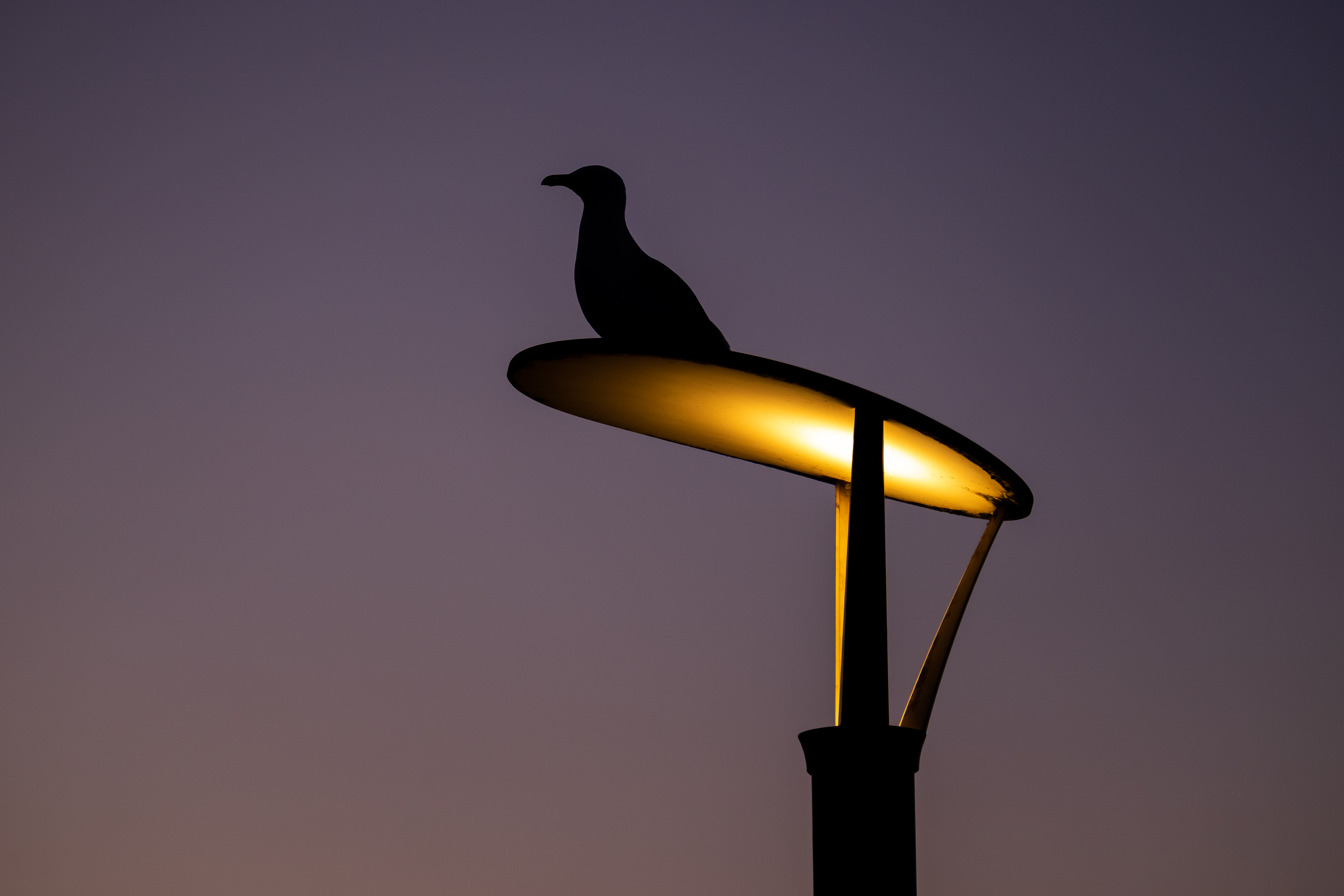 Early Morning Seagull
