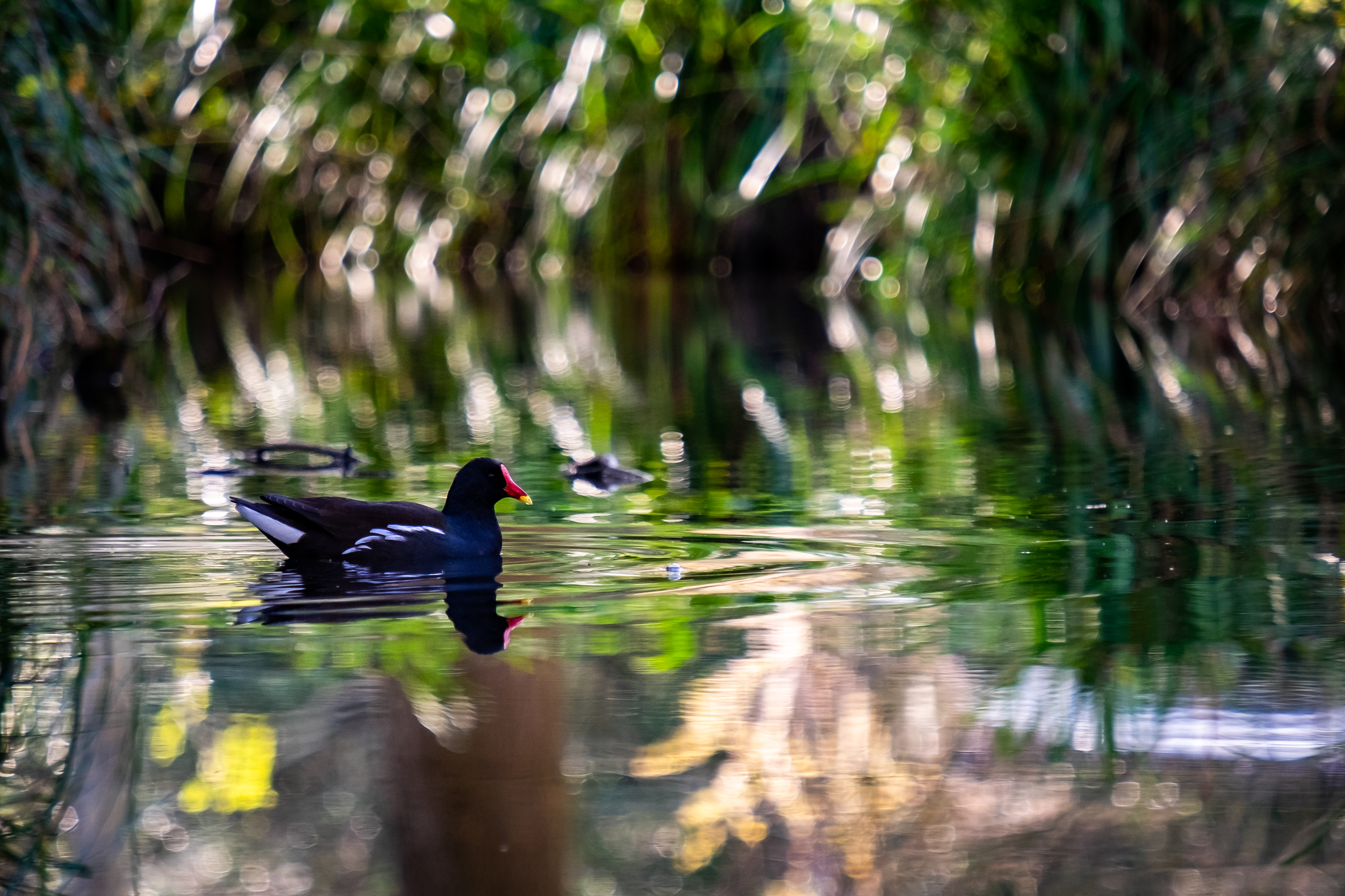 Moorhen in the Stream