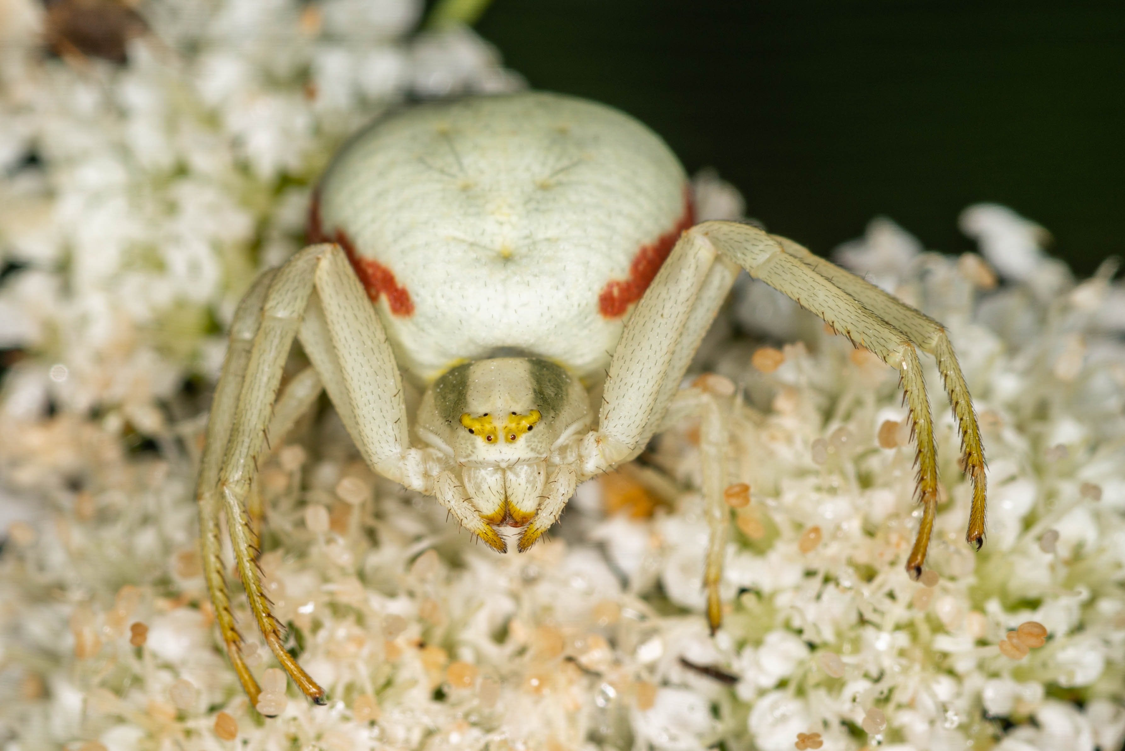 Goldenrod Crab spider 6
