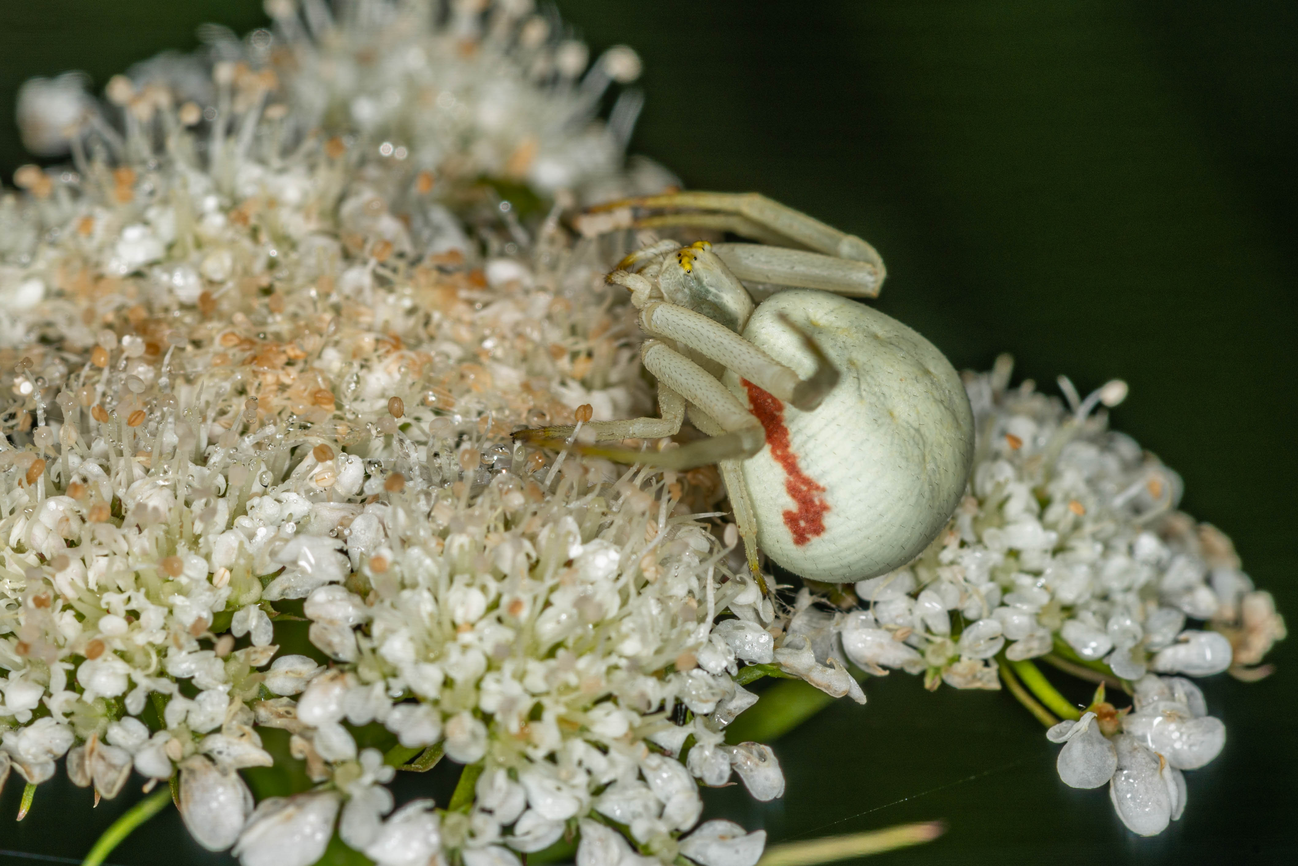 Goldenrod Crab spider 7