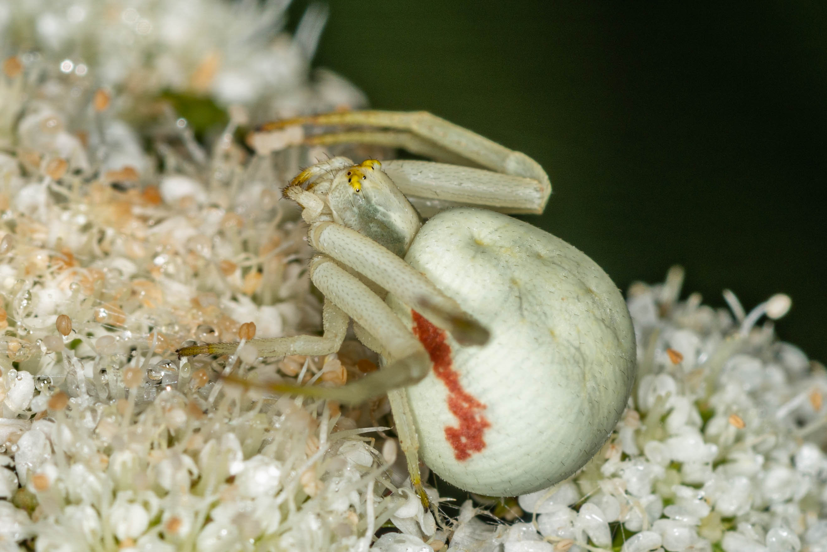 Goldenrod Crab spider 4